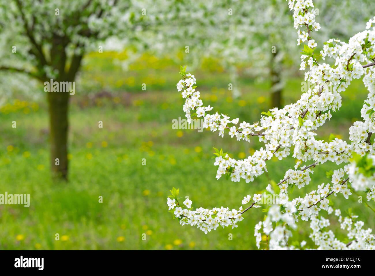 Jardin d\'ornement avec de grands arbres en fleurs ...