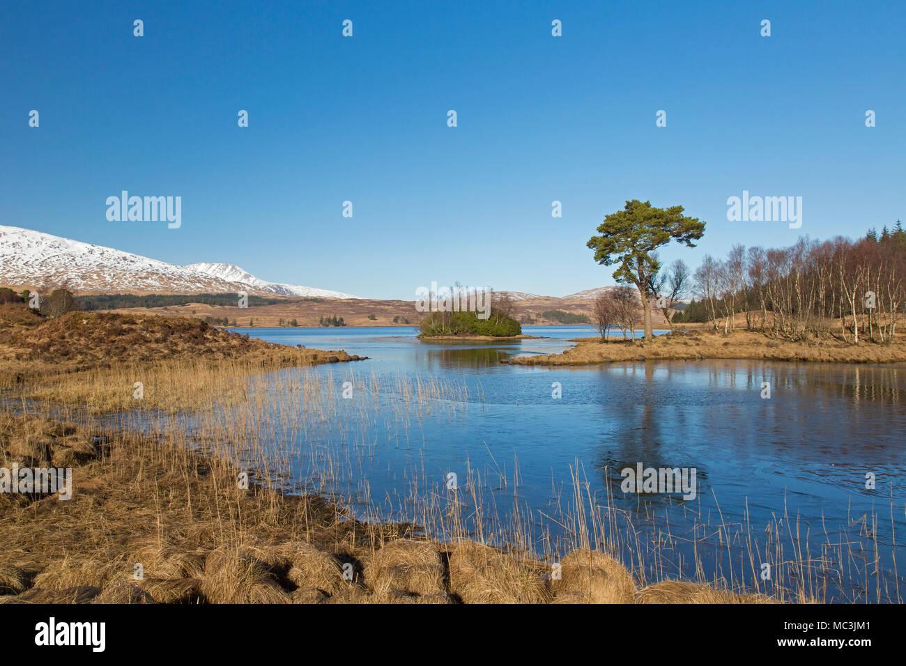 Le pin sylvestre (Pinus sylvestris) le long de Loch Tulla dans les Highlands écossais en hiver, l'Argyll and Bute, Ecosse, Royaume-Uni Photo Stock