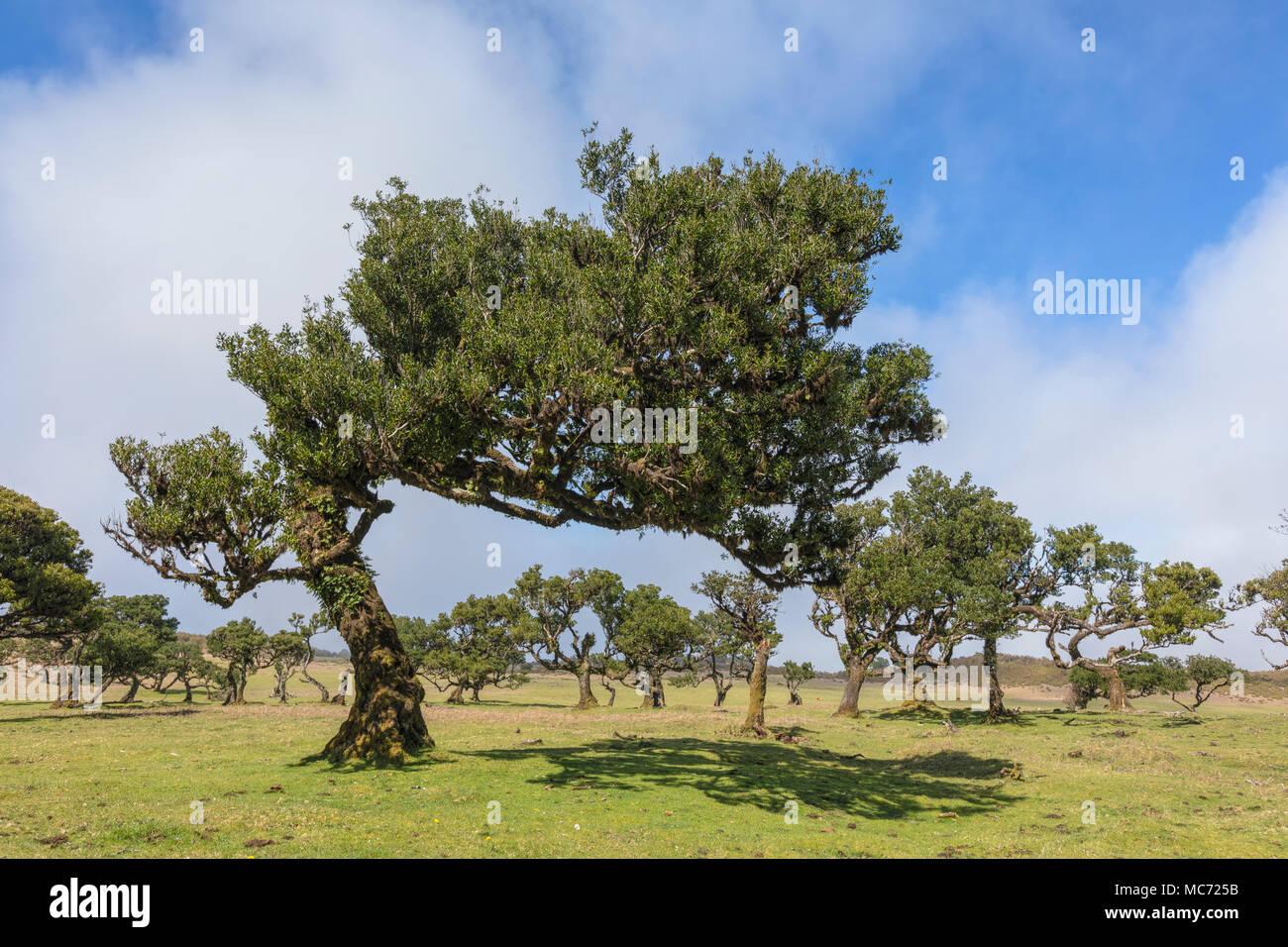 Fanal, Madeira, Portugal, Europe Photo Stock