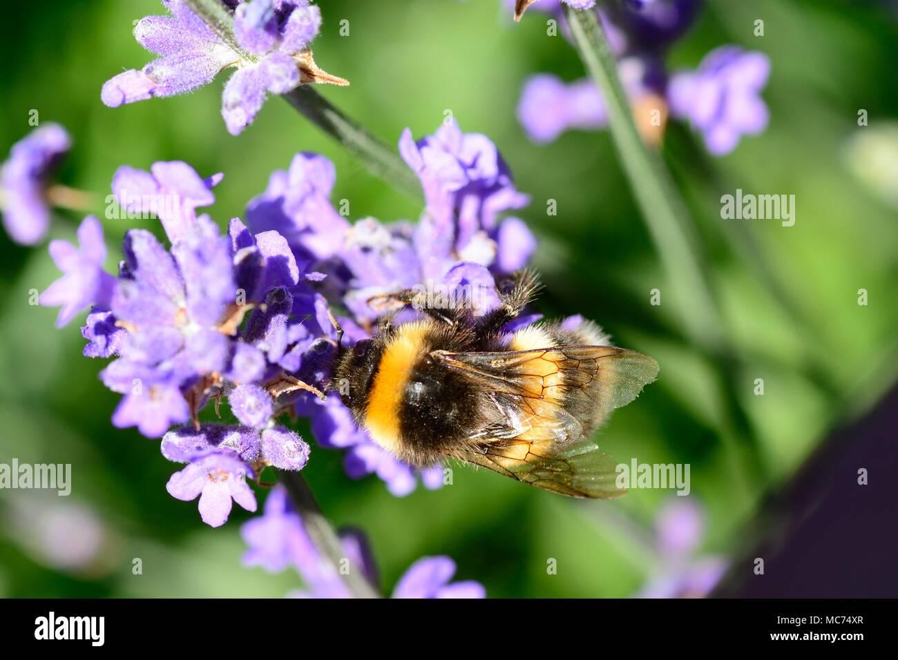 plan macro sur un bourdon la pollinisation des fleurs de. Black Bedroom Furniture Sets. Home Design Ideas