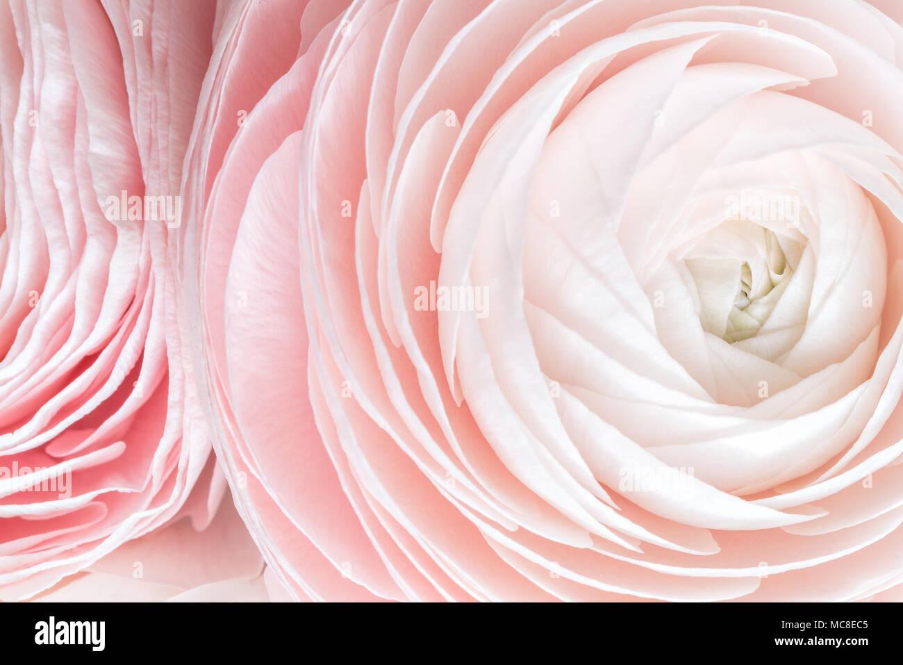 De Nombreux Petales En Couches Renoncule De Perse Bouquet De