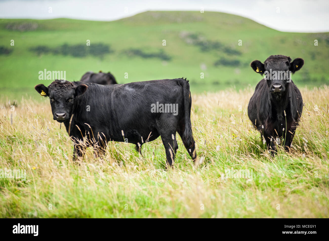 Vache Dexter et de direction Photo Stock