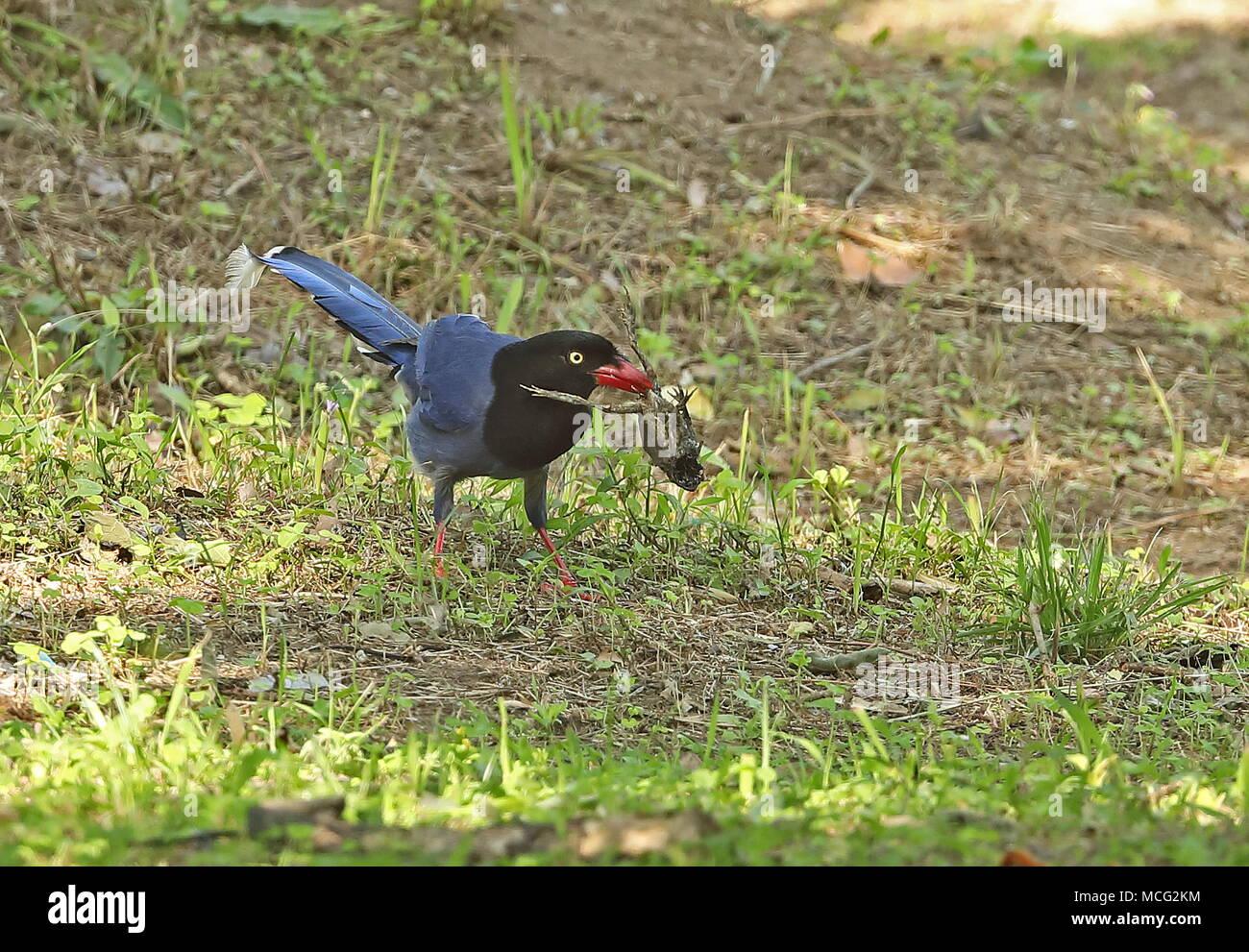 Taiwan Blue Magpie (Urocissa caerulea) adulte sur le sol avec des corps d'un crapaud ou grenouille desicated Jinshan, avril Taiwan Photo Stock