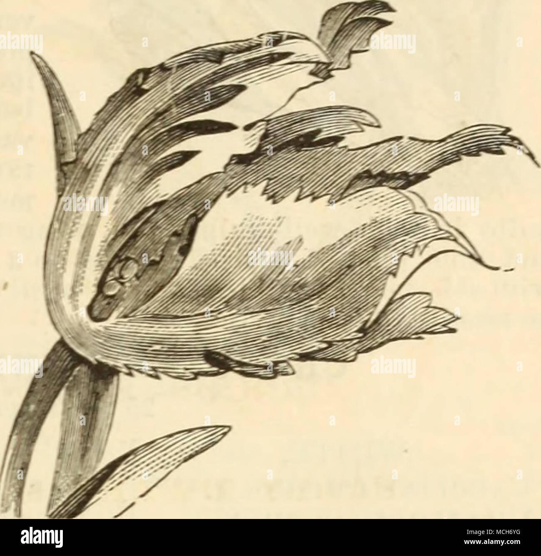 . Van der Neer. Violet, grand, très bien. 151,50 Vekboom. Scarlet, fine form 08 O.tellement brillante vermillon. J'britfht splendide vermillon, de très fines 10 AVouwERMAN. Violet foncé, grande. 15 Wapen van Leiden. Blanc, location- repéré 05 mines. yj.oyj | PARROT tulipes. Grandes fleurs, des bords effilochés, plus bril- liant jaune et rouge, avec des nuances de vert brillant, curieusement mêlées et variée;; unique et pittoresque sont très bien pour les frontières, et lorsqu'on les plante dans les masses produire un beauti- ful et effet remarquable. Chacun. Douz. L'amiral de Constantinople. Rouge, orange strié de 06 .$0.60 Gloriosa. Jaune, str Banque D'Images