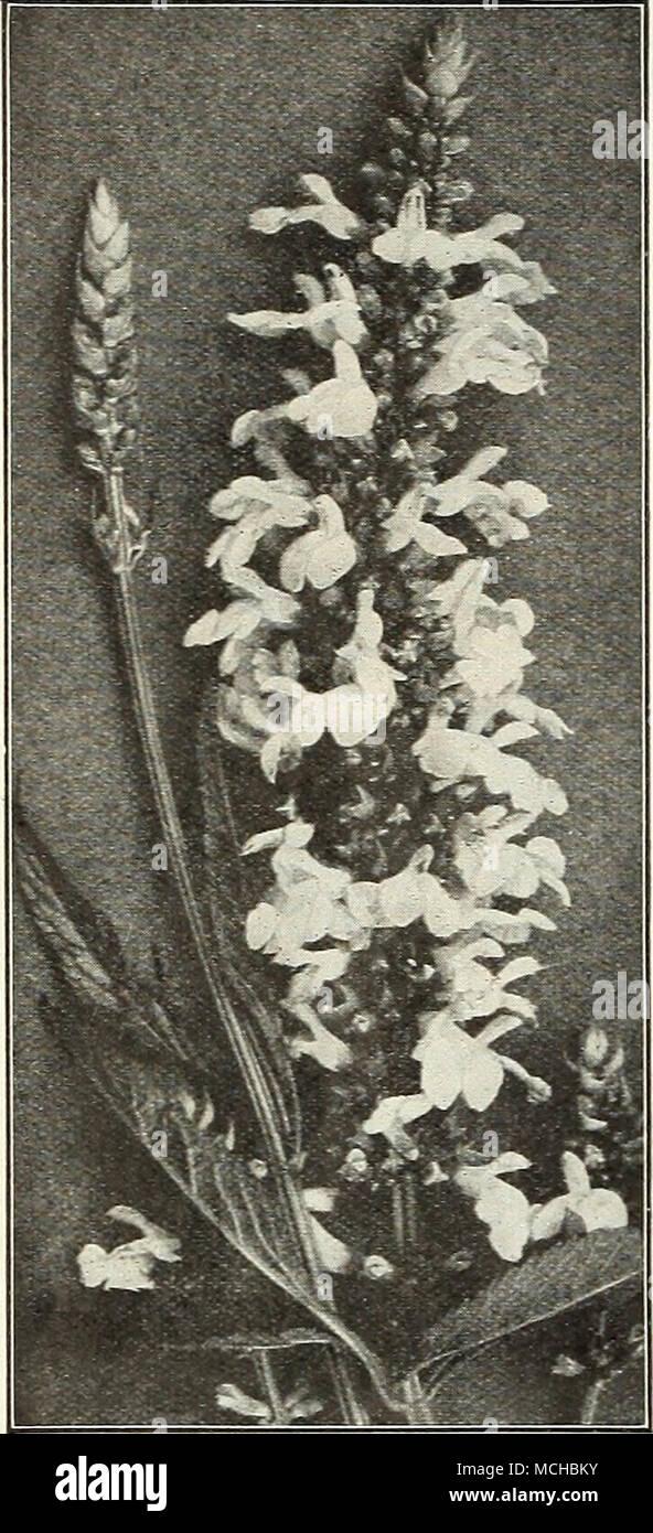 Quelles Fleurs Planter Fin Aout salvia pitcheri prairie bleu (sage) vient du fin fond du
