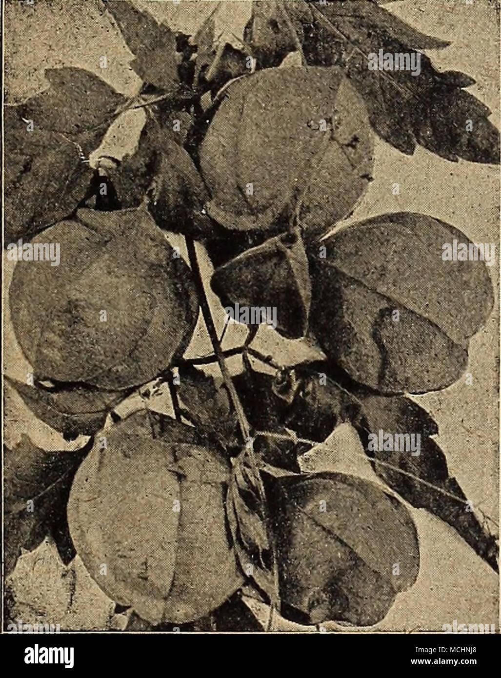 . Balloon Vine fleur de Camélia Double Balsamines (Lady Slipper) un vieux jardin préféré et ses magnifiques fleurs, produisant des masses de beauti- ful couleur brillante fleurs doubles dans la plus grande profusion; facile de culture; parvient à un bon sol riche, les annuelles d'offres; 2 pieds. Commencer la semence à l'intérieur en avril, ou semis à l'extérieur en mai. Les spécimens d'augmenter bien qu'ils ne doivent pas être à moins de 18 pouces. (Voir coupe.) 1532 Prince du saumon. Rose-saumon exquis; très double 10 i:>33 10 1534 jaune lumière écarlate. Fiery brillant 101535 écarlate Solferino. Blanc avec des rayures et des taches, lilas et scarle Banque D'Images