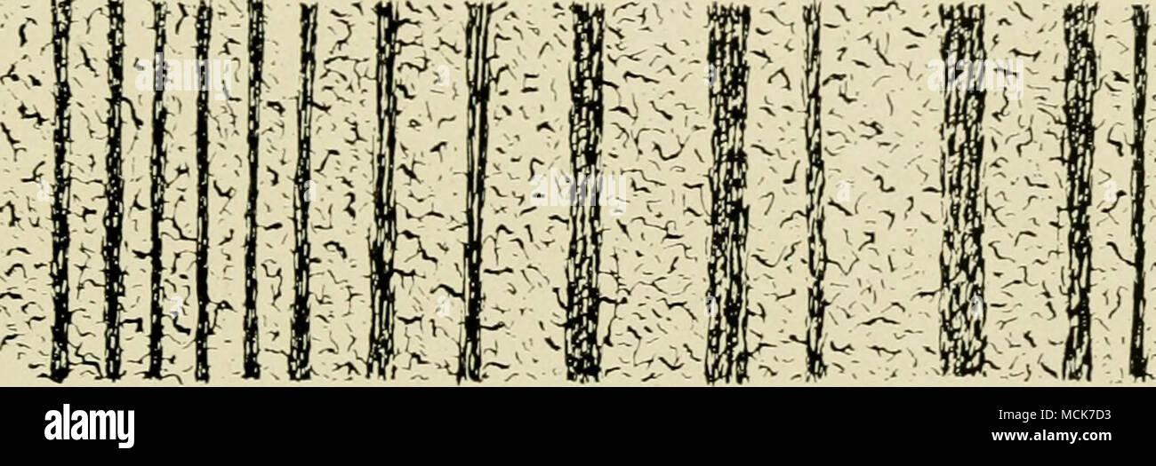. Fig. 31.-section perpendiculaire de corne de mur. ductor de chaleur, l'absence de mauvais effets sur le pied en témoigne. Dans une page précédente, nous avons décrit la manière de la croissance de la corne dans les tubules, et a noté l'orientation qu'ils ont pris dans le mur; nous avons également remarqué l'existence entre eux d'une corne ou ciment. intertubular Ceux qui souhaitent donner à ce sujet une étude trouveront une excellente série d'articles par Fleming dans le vétérinaire pour 1871. Nous allons nous contenter ici d'introduire un ou deux graphiques et photo-micro- graphiques, et de traiter avec l'histologie très brie Photo Stock