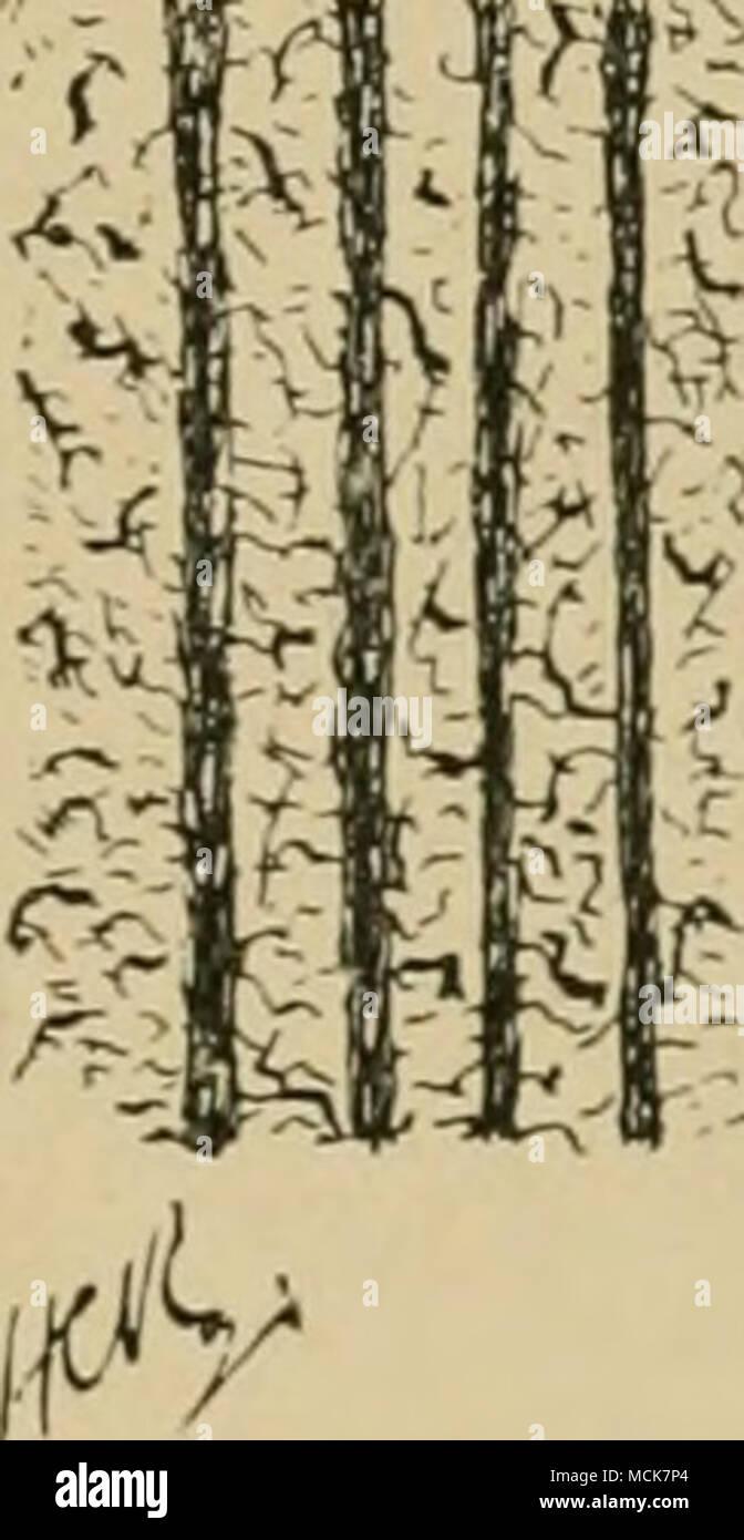 . Fig. 31.-section perpendiculaire de corne de mur. ductor de chaleur, l'absence de mauvais effets sur le pied en témoigne. Dans une page précédente, nous avons décrit la manière de la croissance de la corne dans les tubules, et a noté l'orientation qu'ils ont pris dans le mur; de plus, nous avons remarqué l'existence entre eux d'une corne ou ciment. intertubular Ceux qui souhaitent donner à ce sujet une étude trouveront une excellente série d'articles par Fleming dans le vétérinaire pour 1871. Nous allons nous contenter ici d'introduire un ou deux graphiques et photo-micro- graphiques, et de traiter avec l'histologie très bref Photo Stock