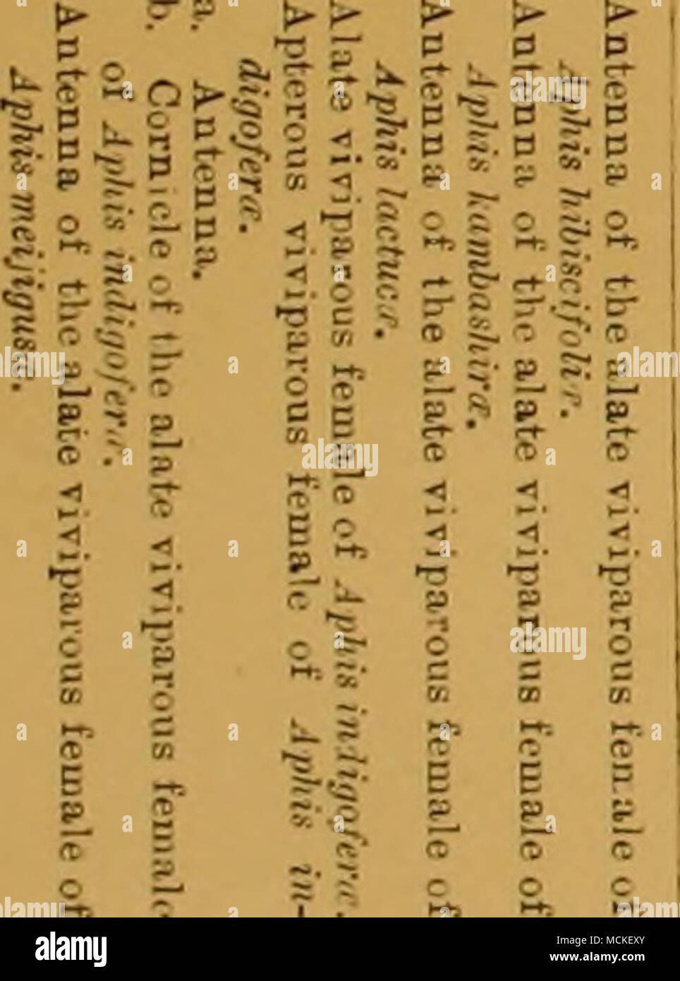 . Ma de l'alate fesale vivipasua ( Aphis???. a? Viviparcus feulalu viTipa ont mangé 01 rouleaux-feuialu C-I % ato-ivil>artss feu ale de Tivit mangé il ulaie-arcus-de Banque D'Images