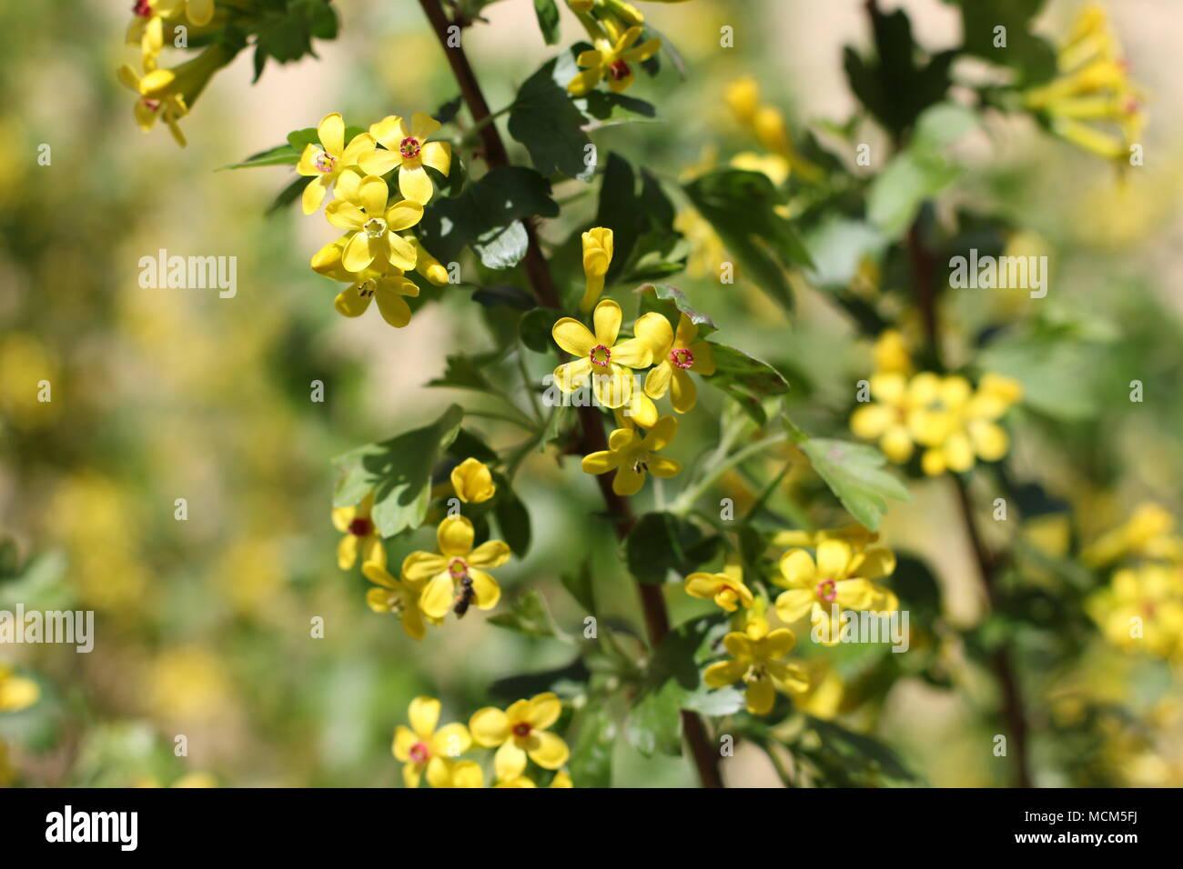 Fleurs Jaune D Or De Cassis Ribes Aureum Photo Stock Alamy