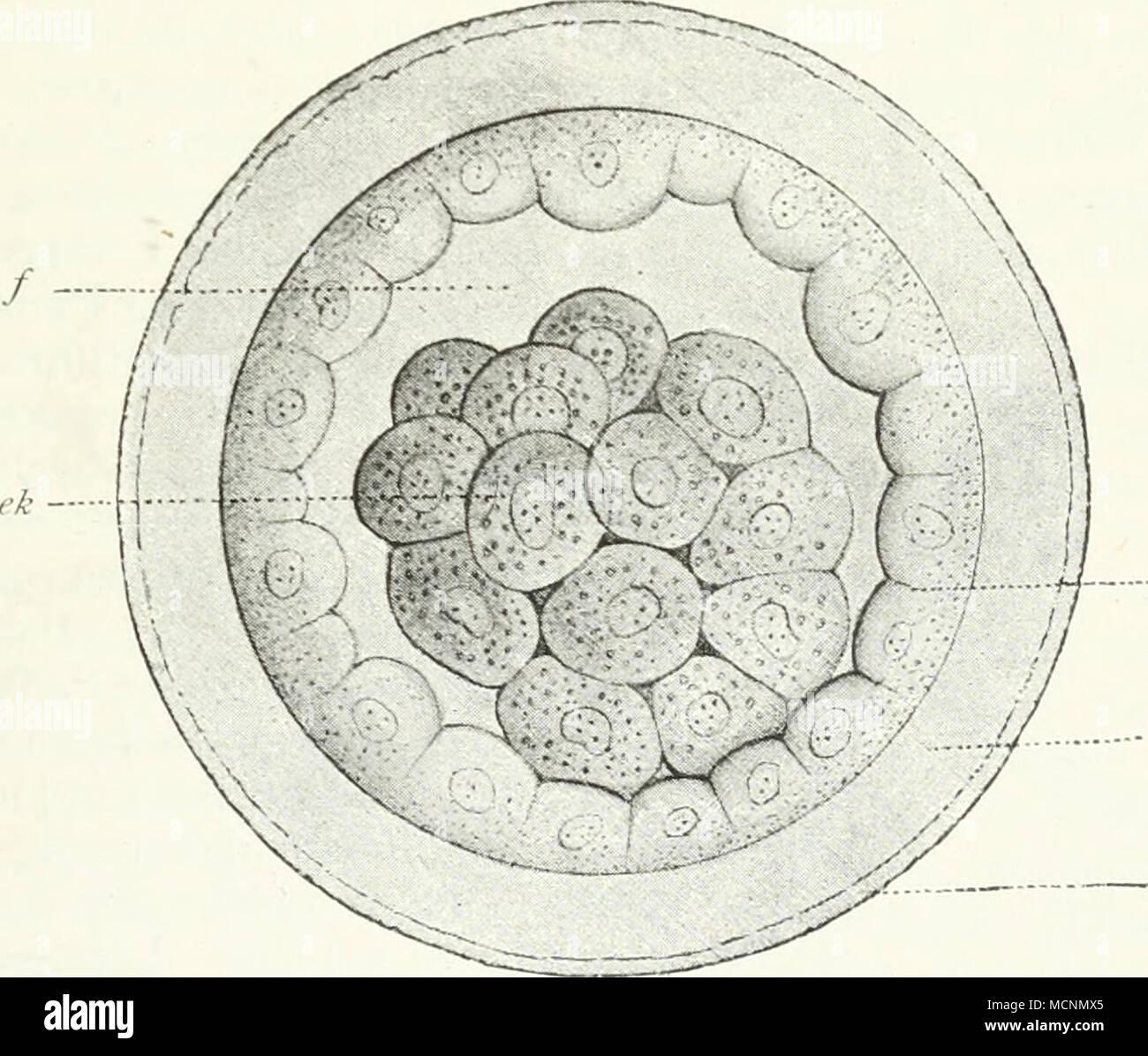 Decidua parietalis vor weiteren Zugriffen des Trophoblastes zu schiitzen.