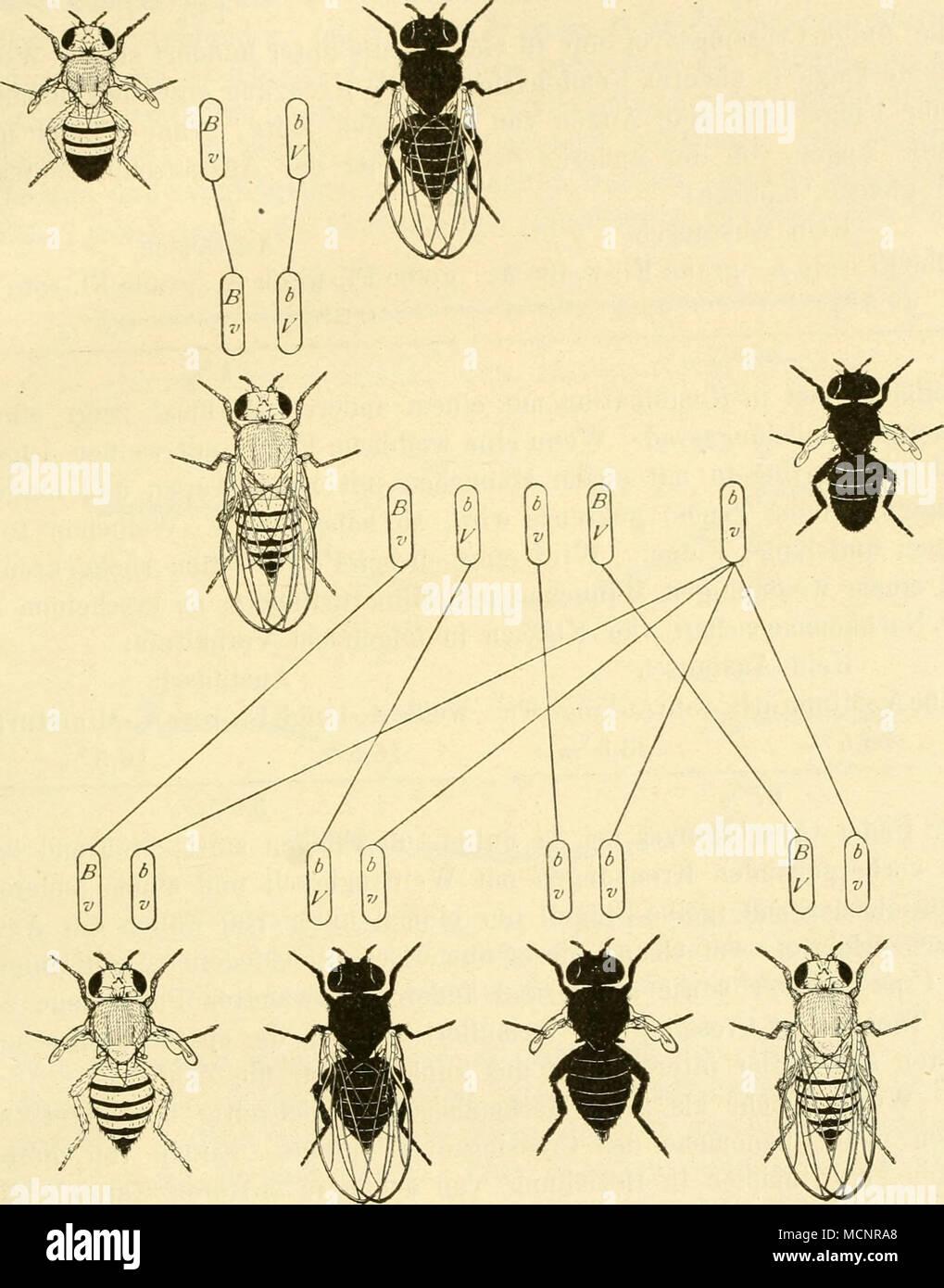 Fig 37. Von Rückkreuzung Weibchens F, Aus Der Kreuzung Grau Stummelflügelig  .
