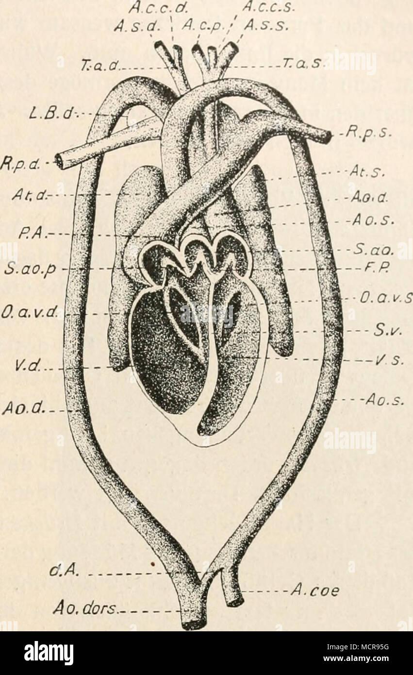Fein Anatomie Und Physiologie Des Herzens Pdf Zeitgenössisch ...