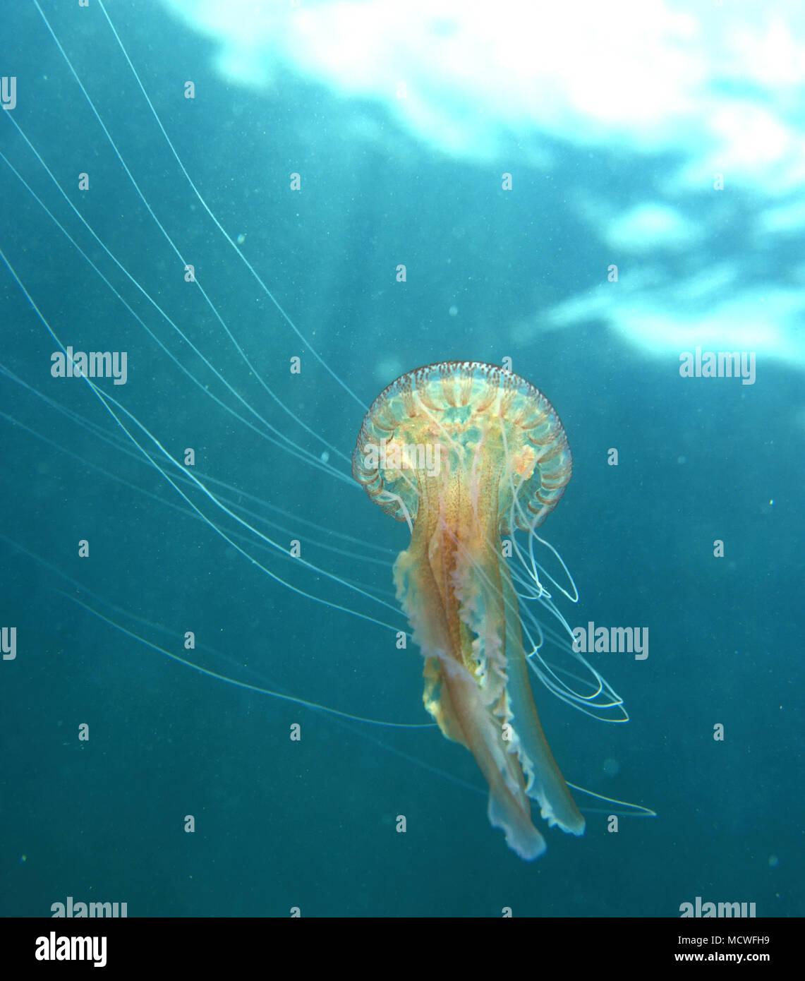 Les méduses ou mauve, Pelagia noctiluca stinger. S'agit en général d'une espèce à l'étranger, même si parfois il est lavé près du littoral et peut être Photo Stock