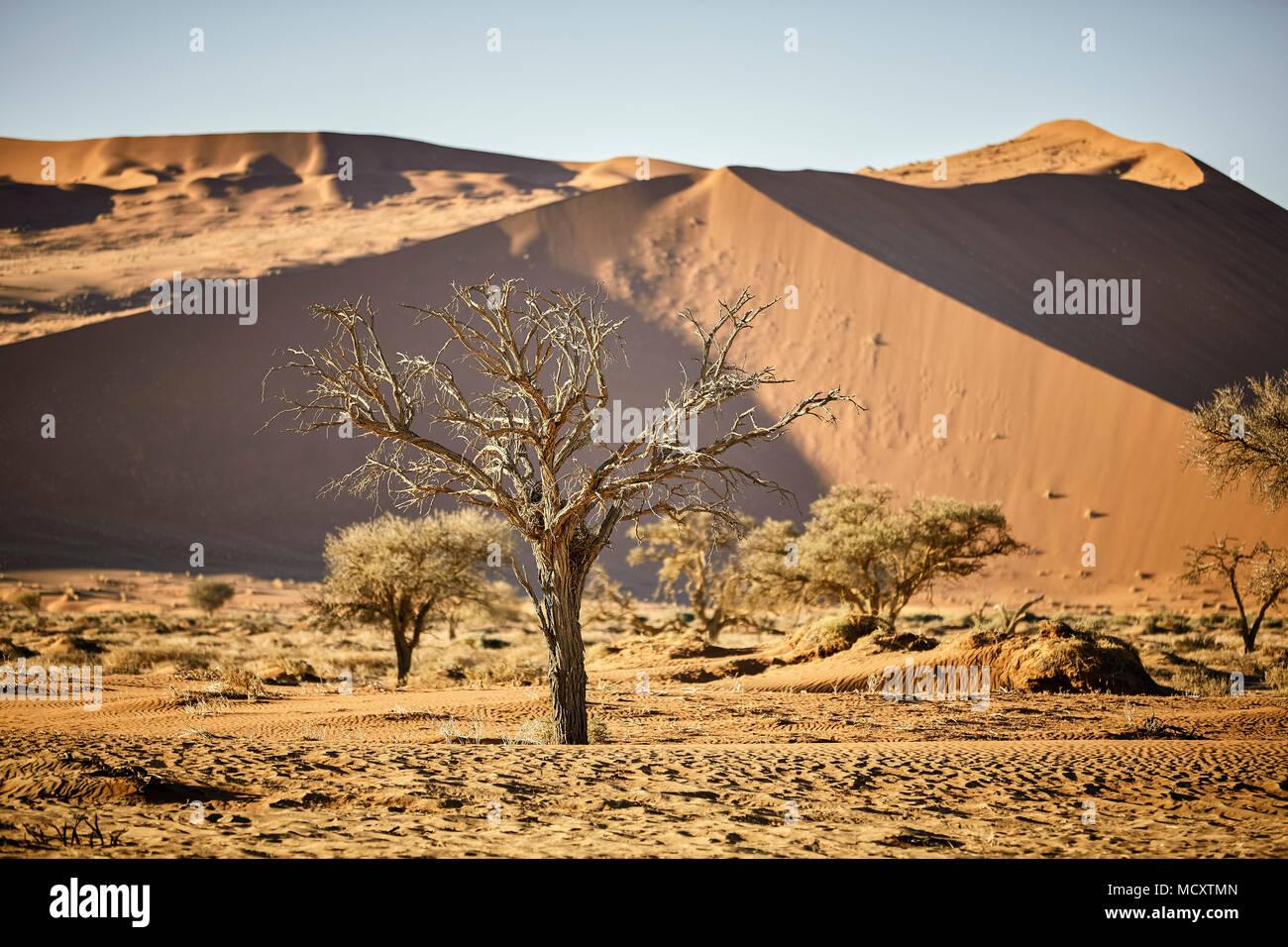 Arbre mort camelthorn (Vachellia erioloba) en face des dunes de sable, Sossusvlei, Désert du Namib, Namib-Naukluft National Park Banque D'Images