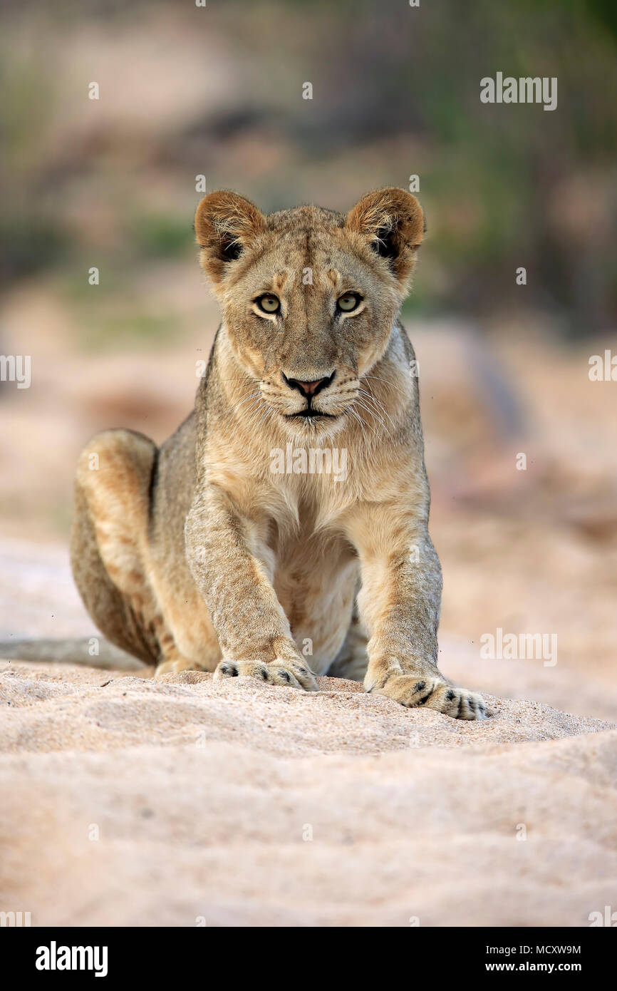 Lioness (Panthera leo), femelle adulte, attentif, observer, assis dans la rivière à sec, Sabi Sand Game Reserve Photo Stock