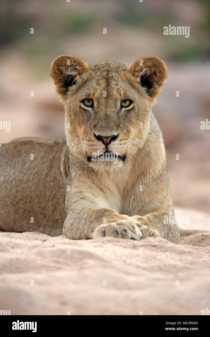 Lioness (Panthera leo), femelle adulte, attentif, observer, se trouve dans la rivière à sec, Sabi Sand Game Reserve, Kruger National Park Photo Stock