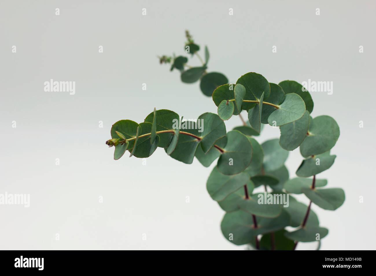 branches d'eucalyptus dans le verre avec de l'eau sur fond blanc