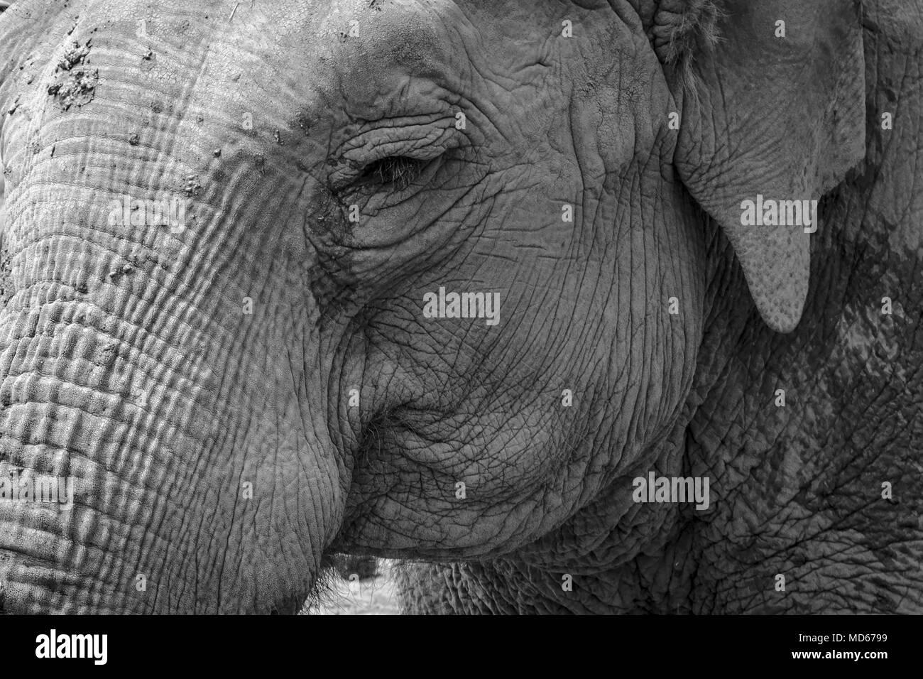 Noir blanc éléphant au zoo Photo Stock