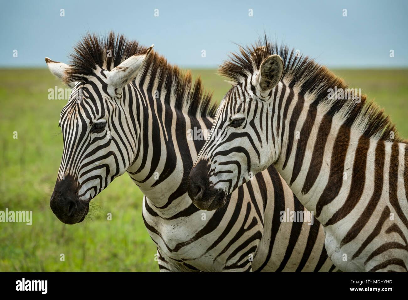 Close-up of two zèbre des plaines (Equus quagga) debout côte à côte, le cratère du Ngorongoro, Tanzanie Photo Stock