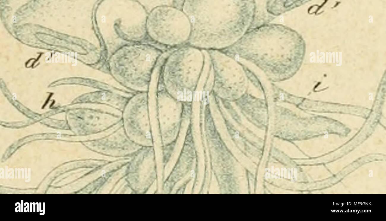 . Die Klassen und Ordnungen der Strahlenthiere Actinozoa (): wissenschaftlich dargestellt in Wort und Bild . /C - S P L ] ä Photo Stock