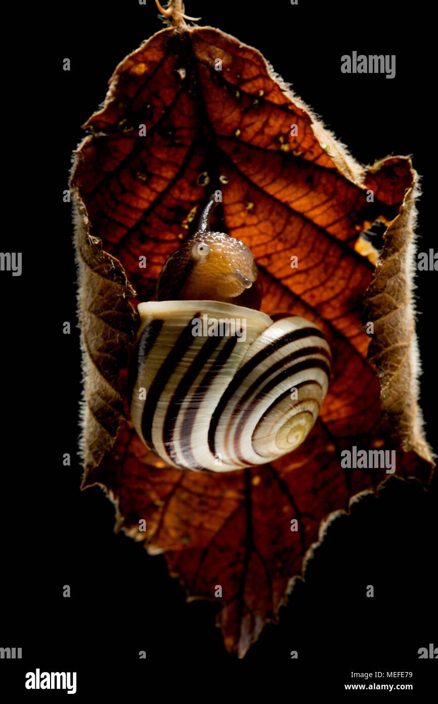 Lèvres blanches, un escargot Cepaea hortensis, sortant de sa coquille après la mise à l'abri à l'intérieur d'une feuille morte bramble. Nord du Dorset England UK Photo Stock