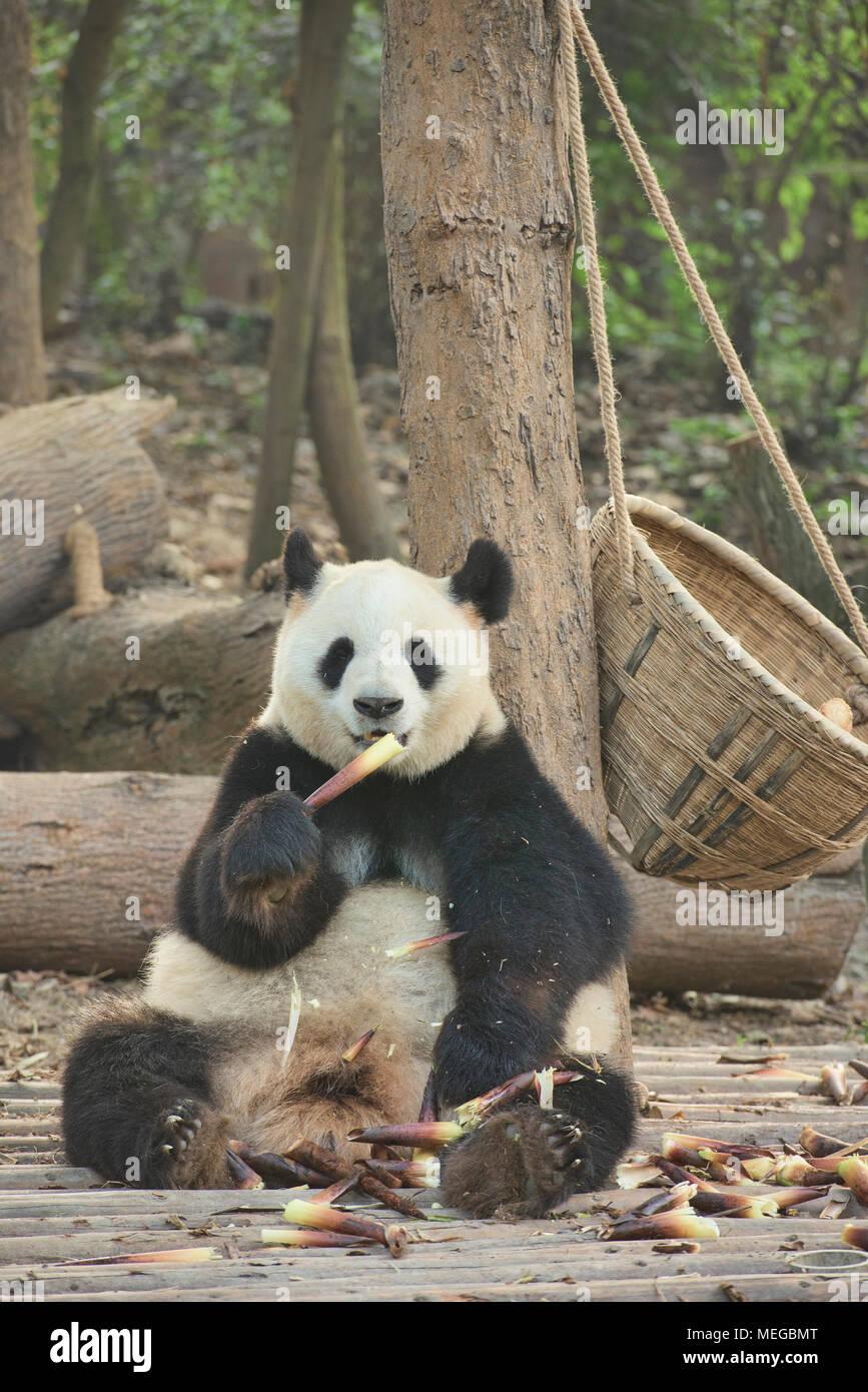 Grand panda eating bamboo à la base de recherche de Chengdu Panda Géant se reproduisent dans Chengdu, Sichuan, Chine Photo Stock