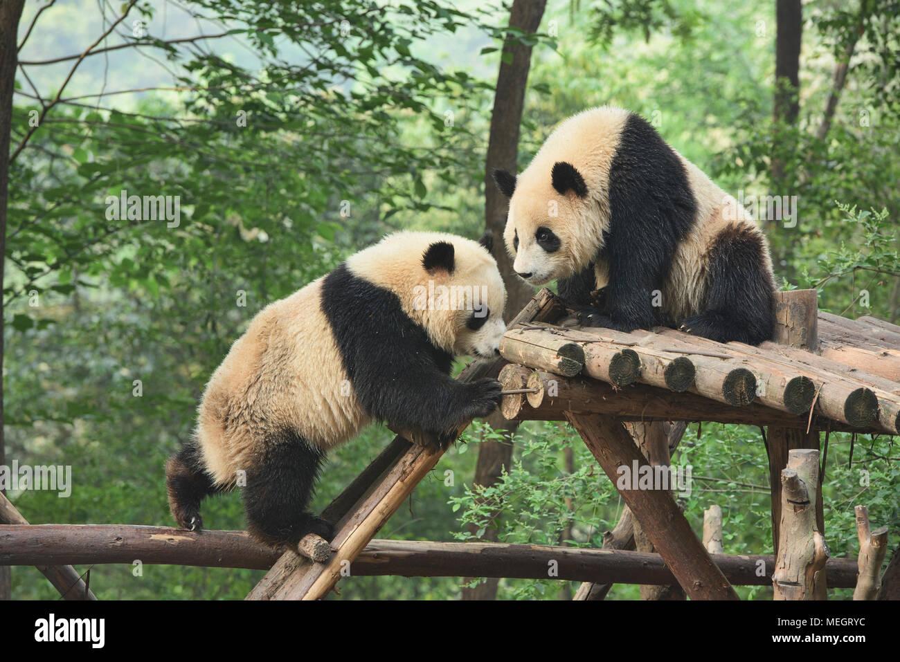 Pandas géants à la base de recherche de Chengdu Panda Géant se reproduisent dans Chengdu, Sichuan, Chine Photo Stock