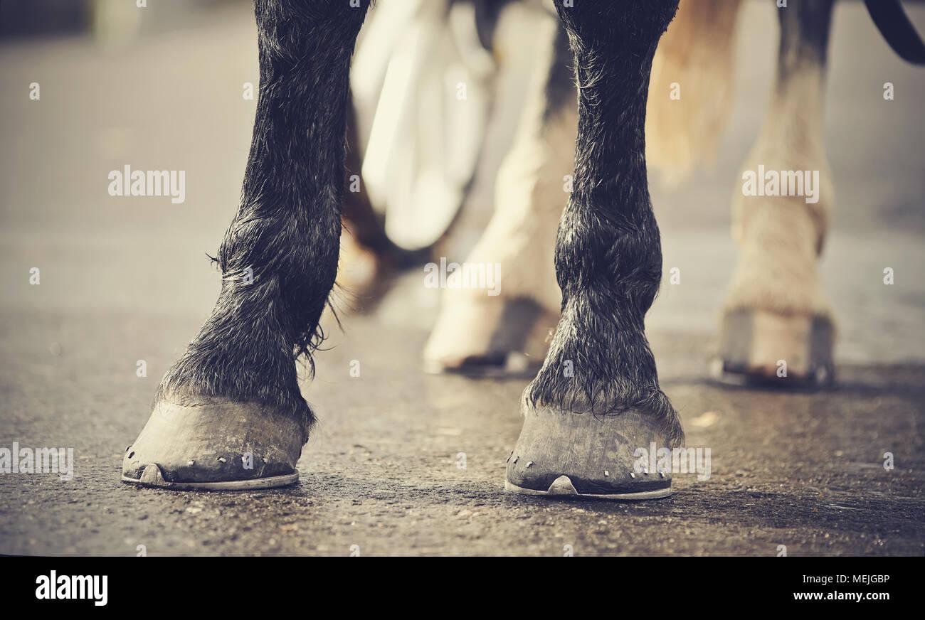 Transport à cheval. Les jambes du cheval harnaché dans le chariot. Photo Stock