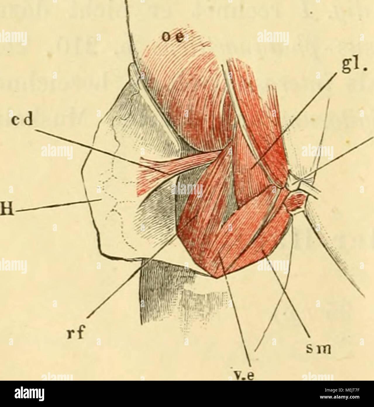 Fein Unterkörper Muskeln Diagramm Galerie - Menschliche Anatomie ...