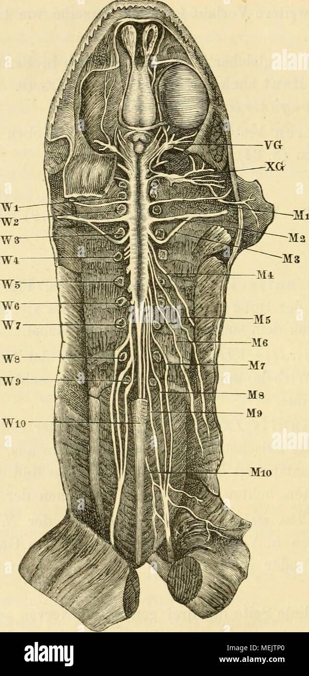 Gehirn und Rückenmark Photos & Gehirn und Rückenmark Images - Alamy