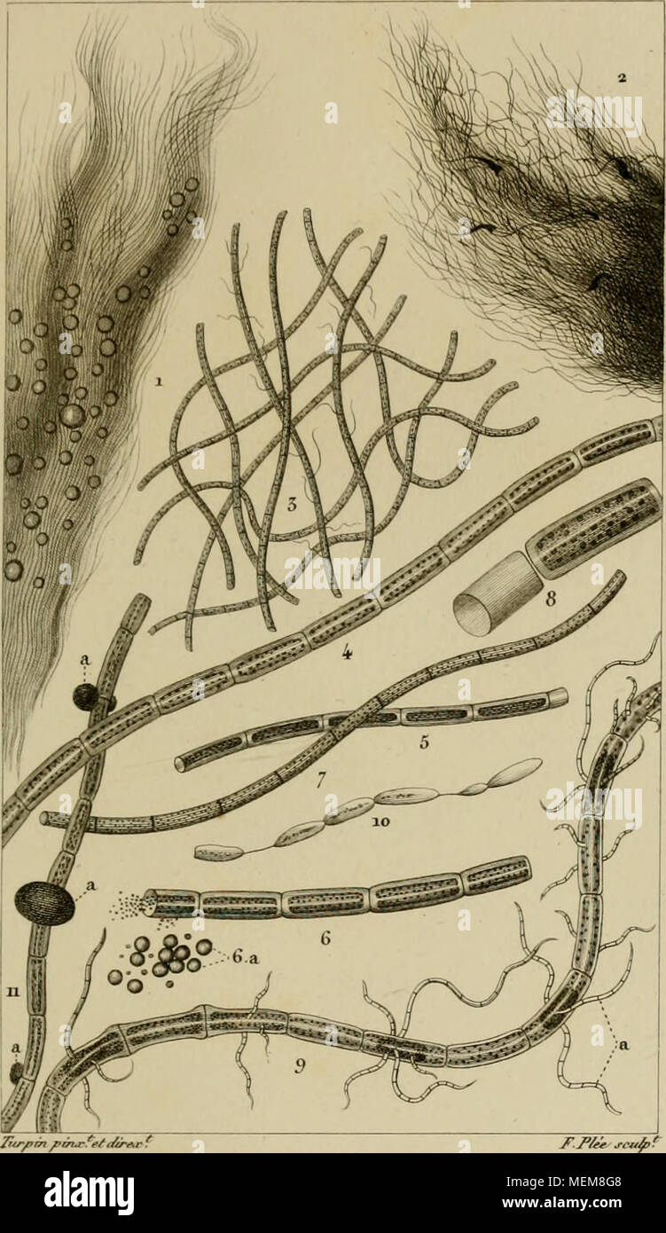 """. Dictionnaire des sciences naturelles [ressource électronique]: dans lequel on traite méthodiquement des différens êtres de la nature, considérés soit en eux-mêmes, d'après l'état actuel de nos connoissances, soit relativement à l'utilité qu'en peuvent retirer la médecine, l'agriculture, le commerce et les artes. Suivi d'une biographie des plus célèbres naturalistes . . Des CHANTRAIVSIK inusseaiix. CHANTRANSIA^vWx iVs&Lt; J/)f .1 Ã""""?ri/¨^à rua rn j'^^/ari:. /. Iùi ^.J//i4- (nuancée. 3 .^^t ù/ne/j'^^ une ue/ e/n/e/fS à çsù-roj-""""^^^-T, 5,6Et^^j f/fi. j'^-atç^'fprÃren - roj Banque D'Images"""