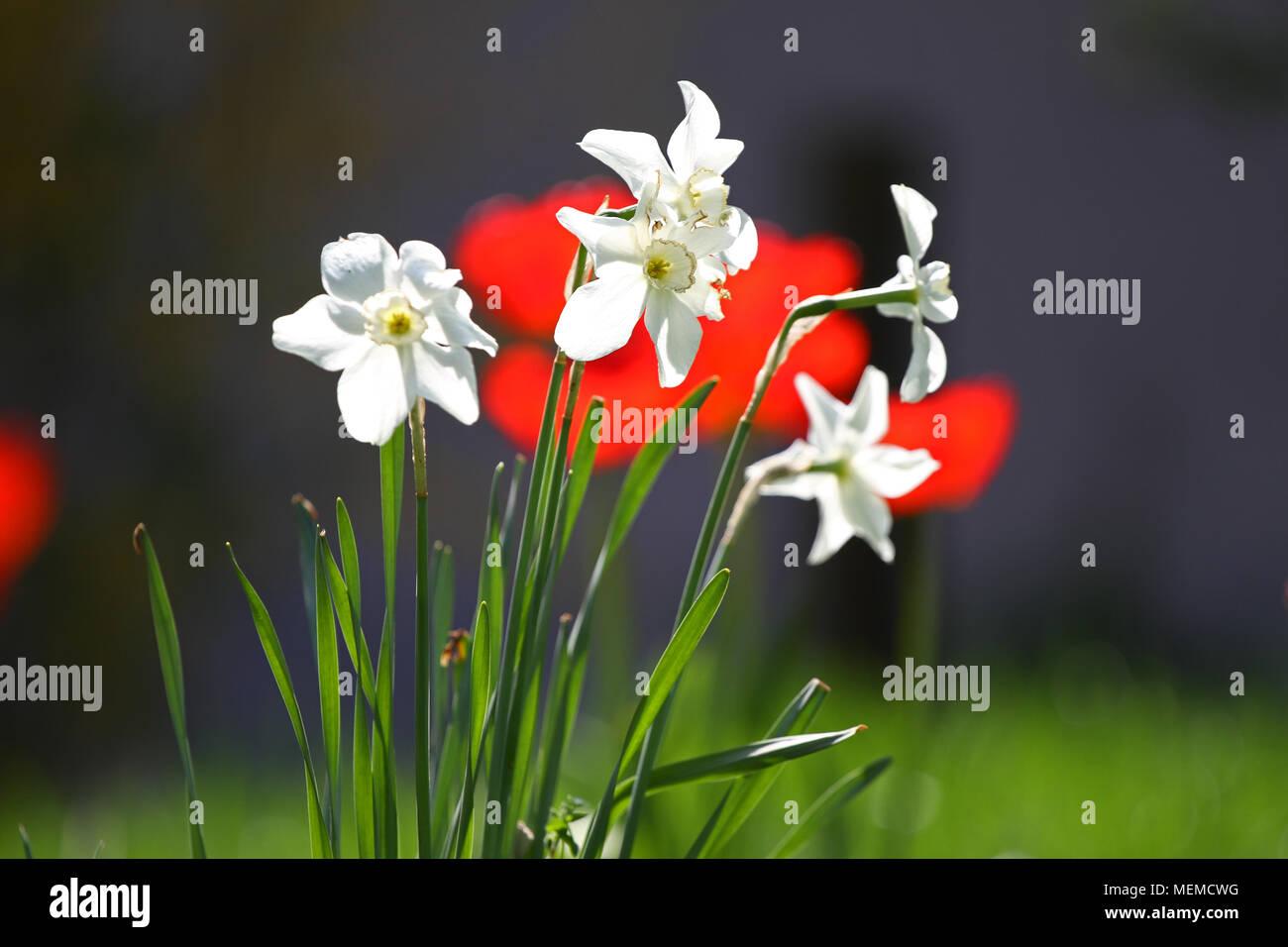 narcisse jonquille et tulipes tulipe rouge et blanc narcisse jonquille sur la lumi re du. Black Bedroom Furniture Sets. Home Design Ideas
