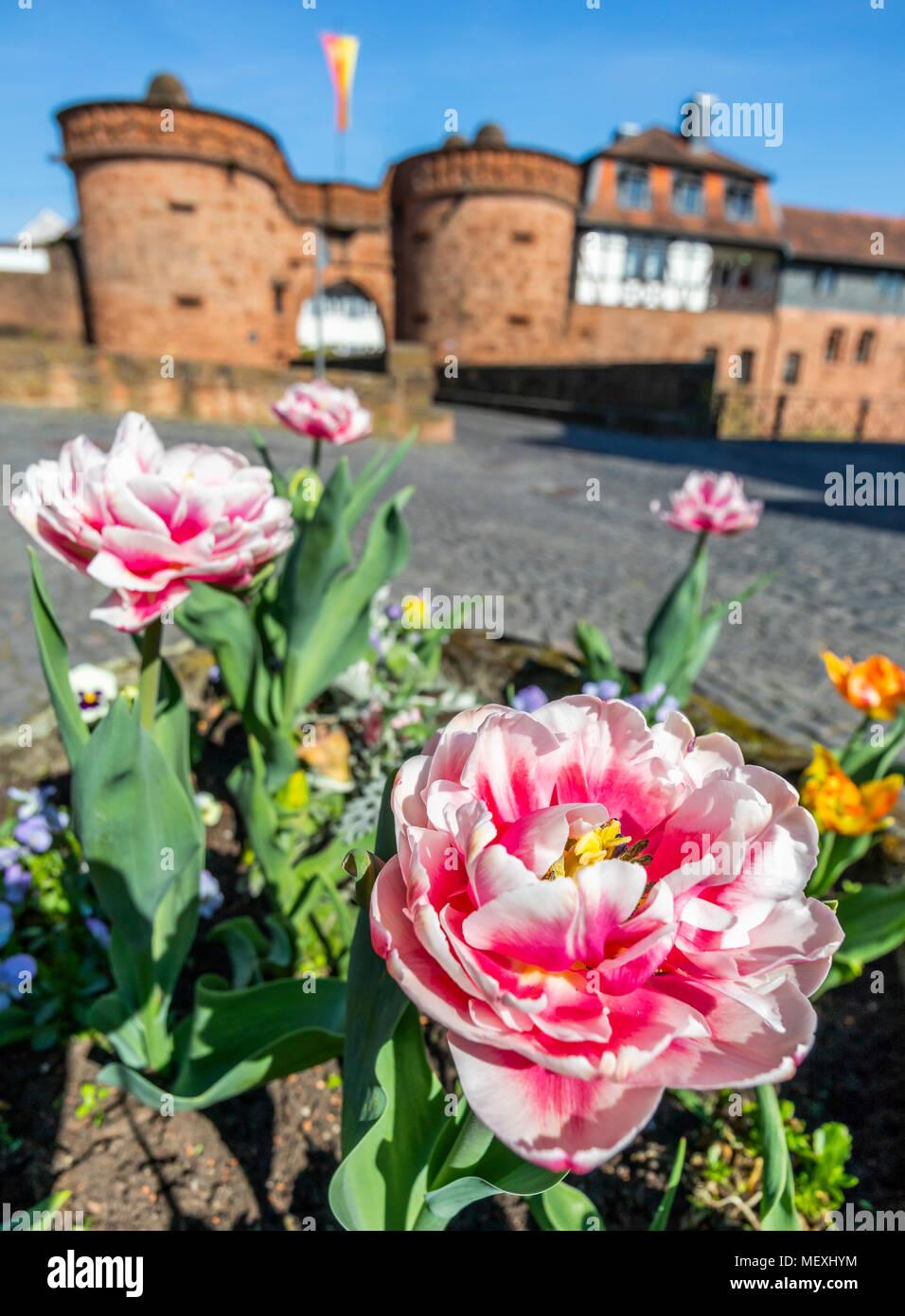Double En Fleurs Tulipes Tôt En Face De Jerusalemer Ou Tour Untertor