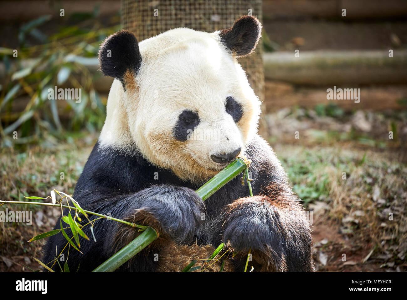 Atlanta capitale de l'état américain de Géorgie, le Zoo d'Atlanta Zoological Park grand panda bear native du sud-centre de la Chine Photo Stock