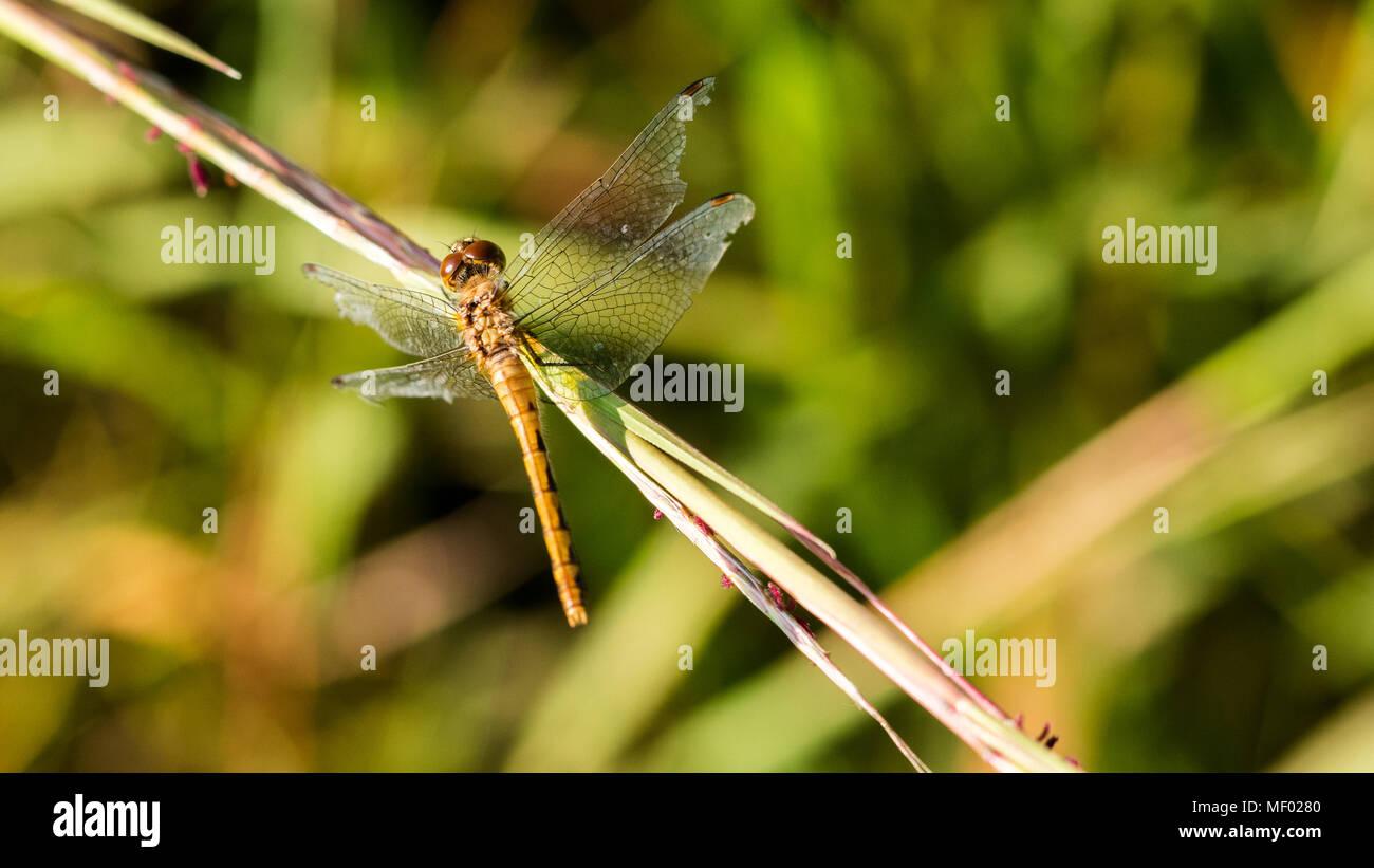 Ruby meadowhawk libellule posée sur une herbe de prairie au coucher du soleil. Banque D'Images
