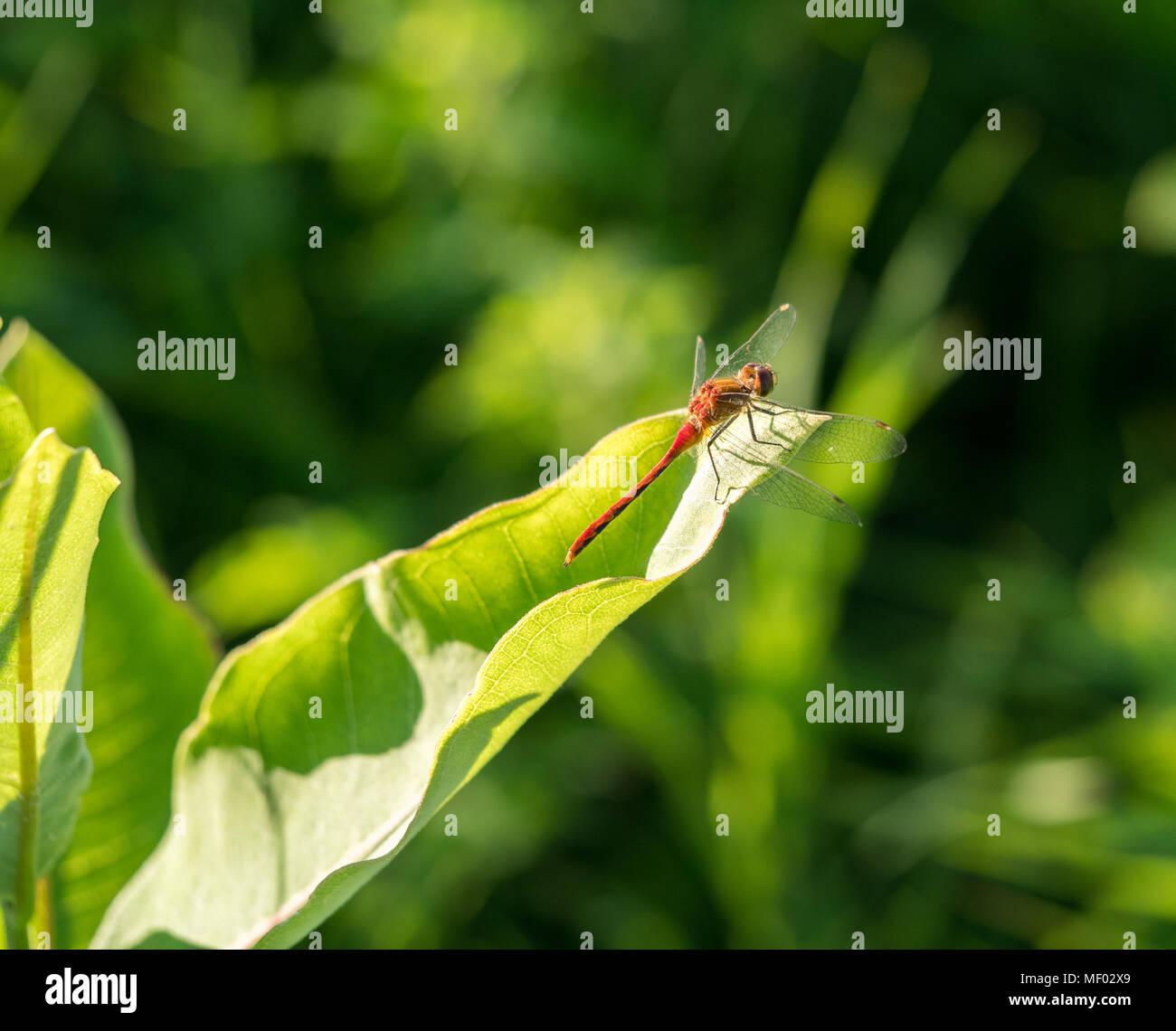 Ruby meadowhawk réchauffement de ses ailes de libellule sur une feuille. Banque D'Images