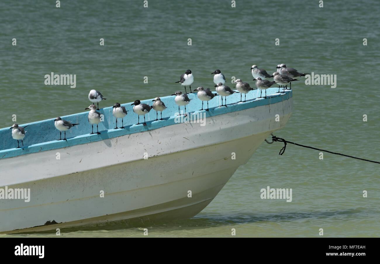 Mouettes sur un bateau de pêche sur la plage de l'Île de Holbox, Mexique Photo Stock