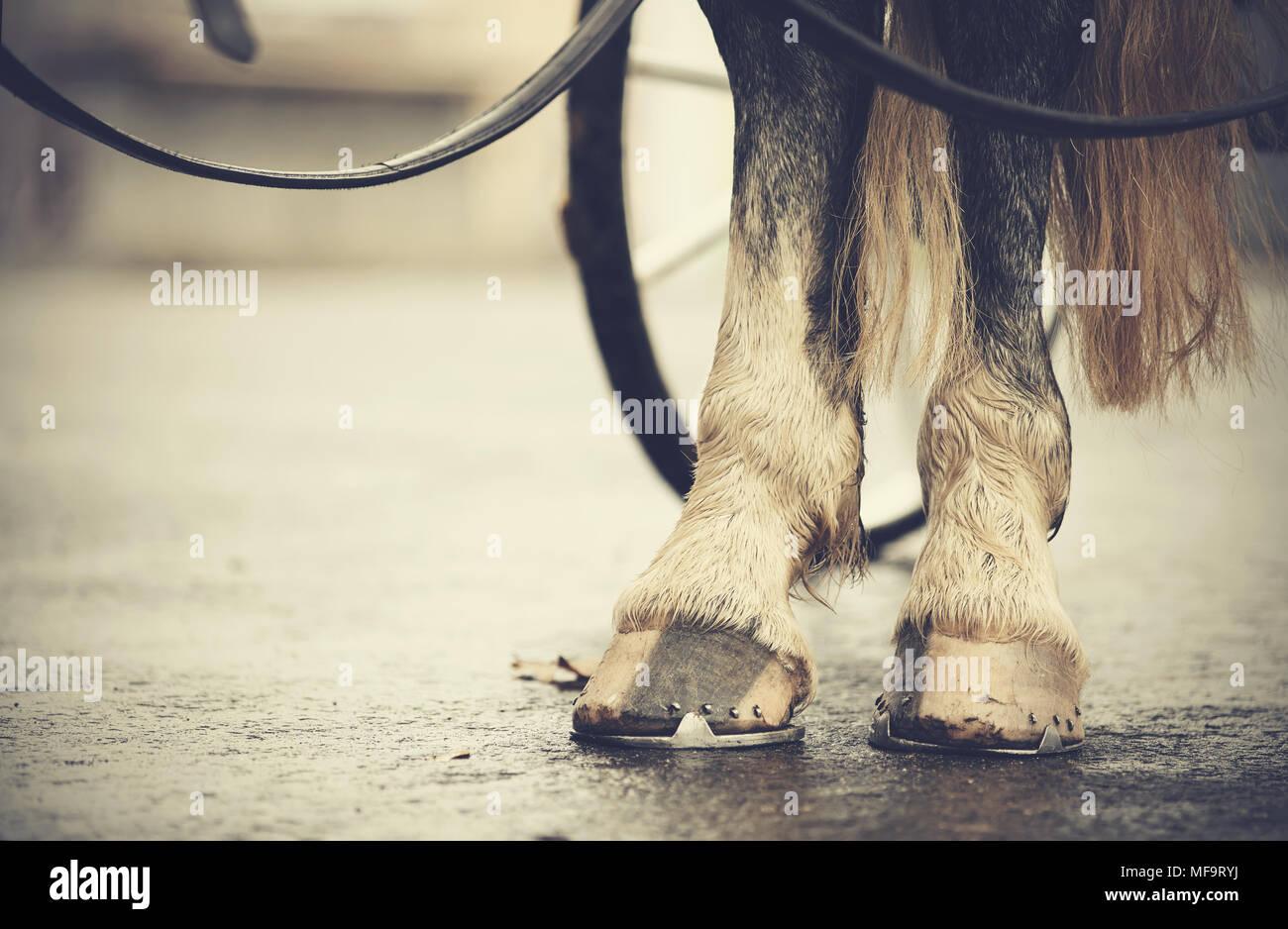 Transport à cheval. Les pattes du cheval harnaché dans le chariot. Photo Stock