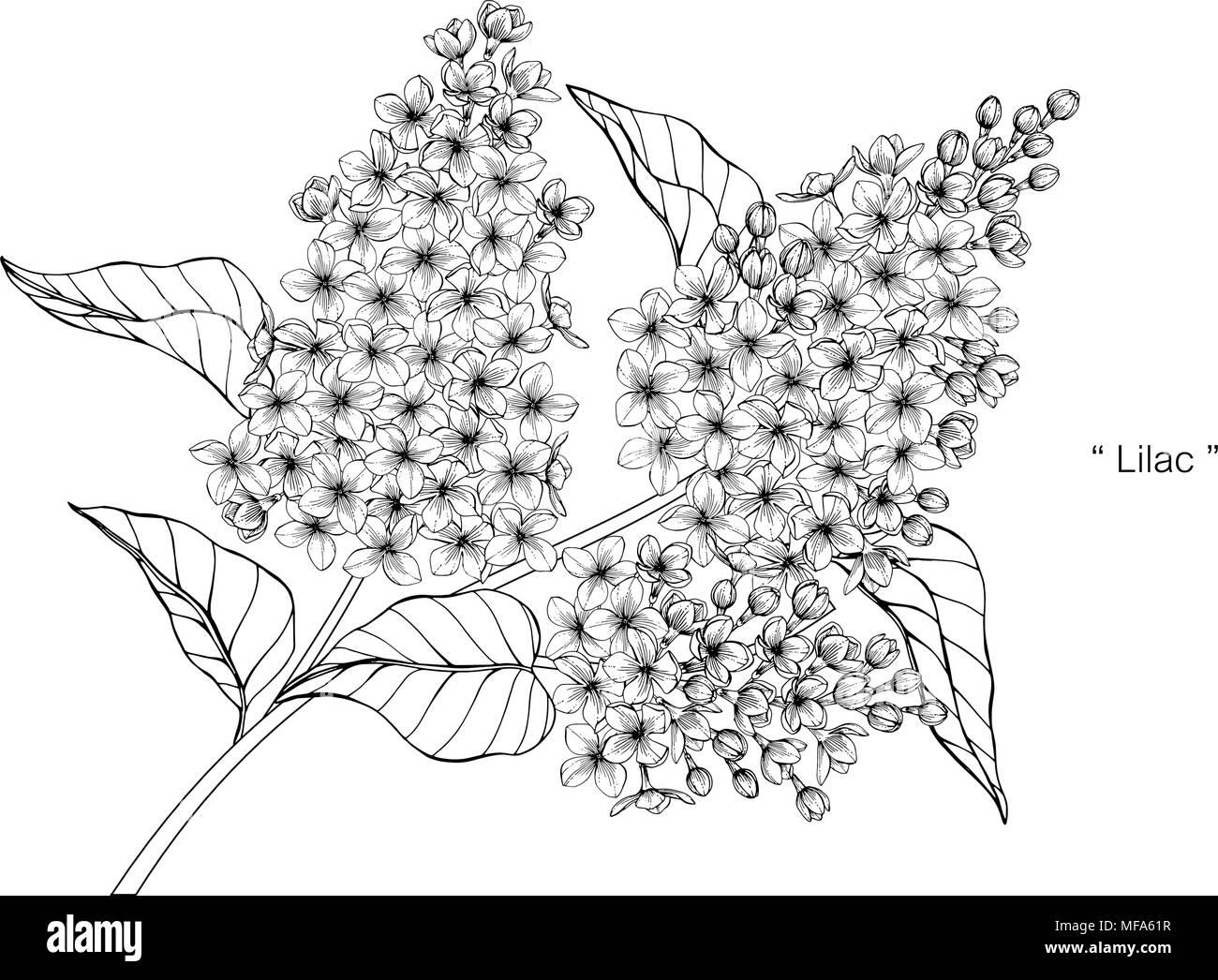 dessin de fleurs lilas illustration noir et blanc avec dessin au trait sur fonds blancs. Black Bedroom Furniture Sets. Home Design Ideas