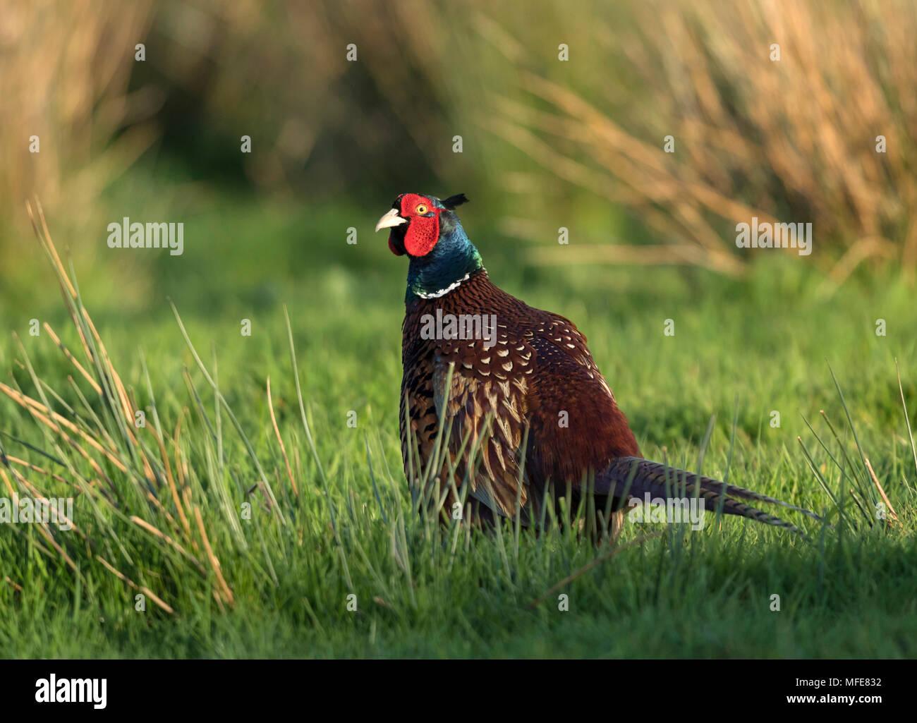 Pheasant appréciant les derniers rayons de soleil, à Windmill Farm, sur la péninsule de Lizard, Cornwall, UK Photo Stock