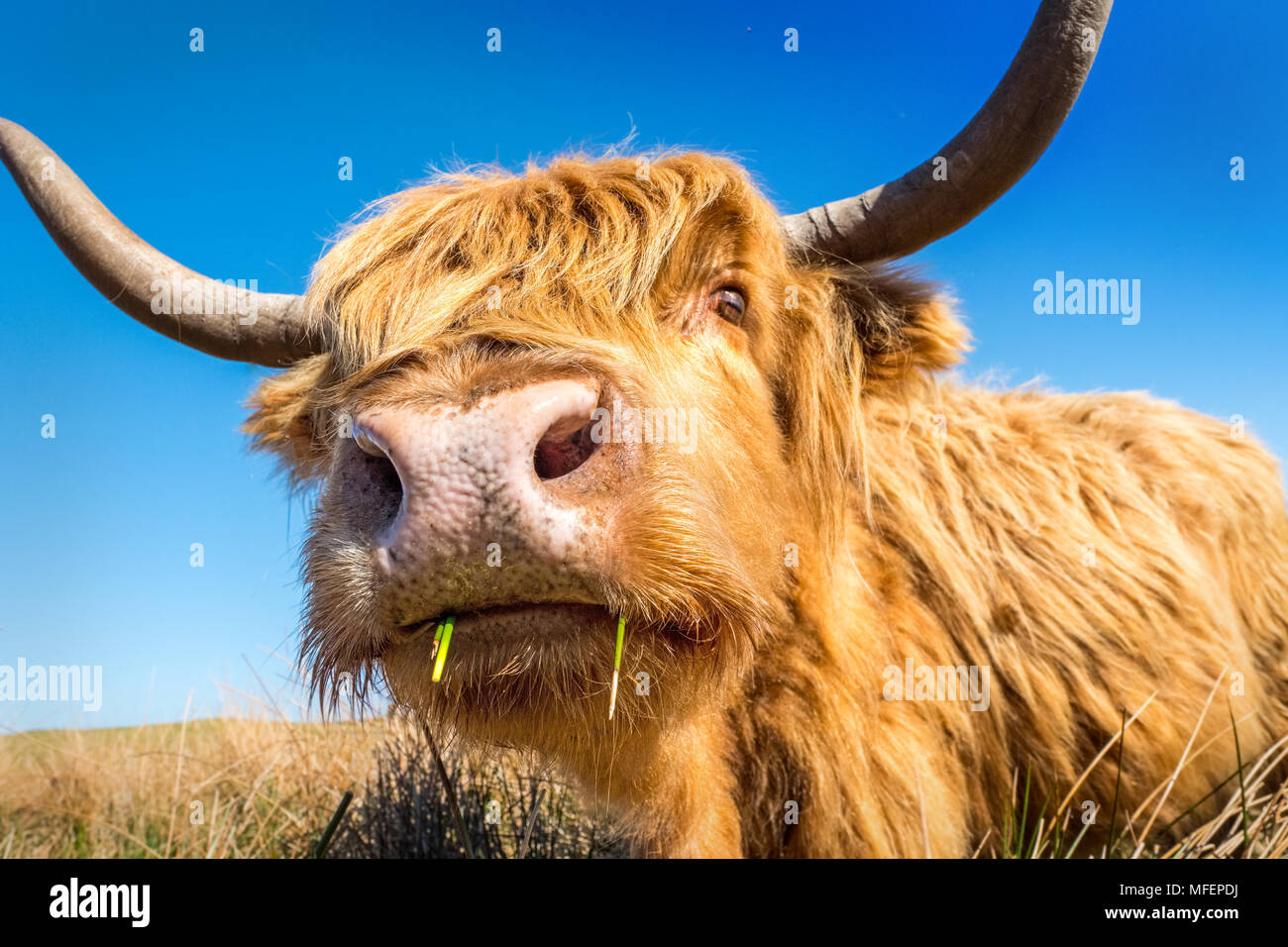Highland cow / le pâturage sur les landes Photo Stock