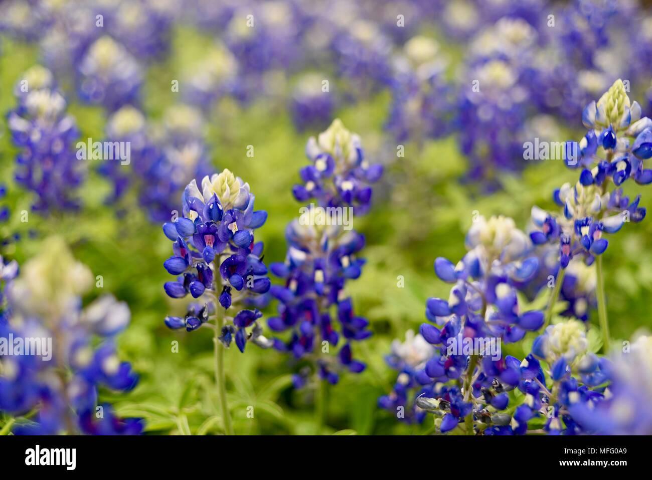 Fleurs De Printemps Du Texas Bluebonnets Fleur De L Etat Du Texas