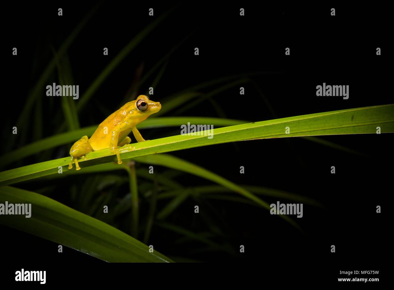 Une olive-snouted Scinax treefrog elaeochroa dans Parc National de Tortuguero Costa Rica Photo Stock