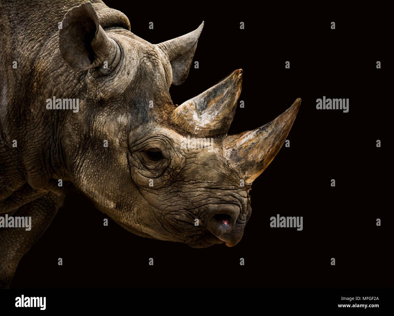 Les rhinocéros noirs avec des traits Banque D'Images