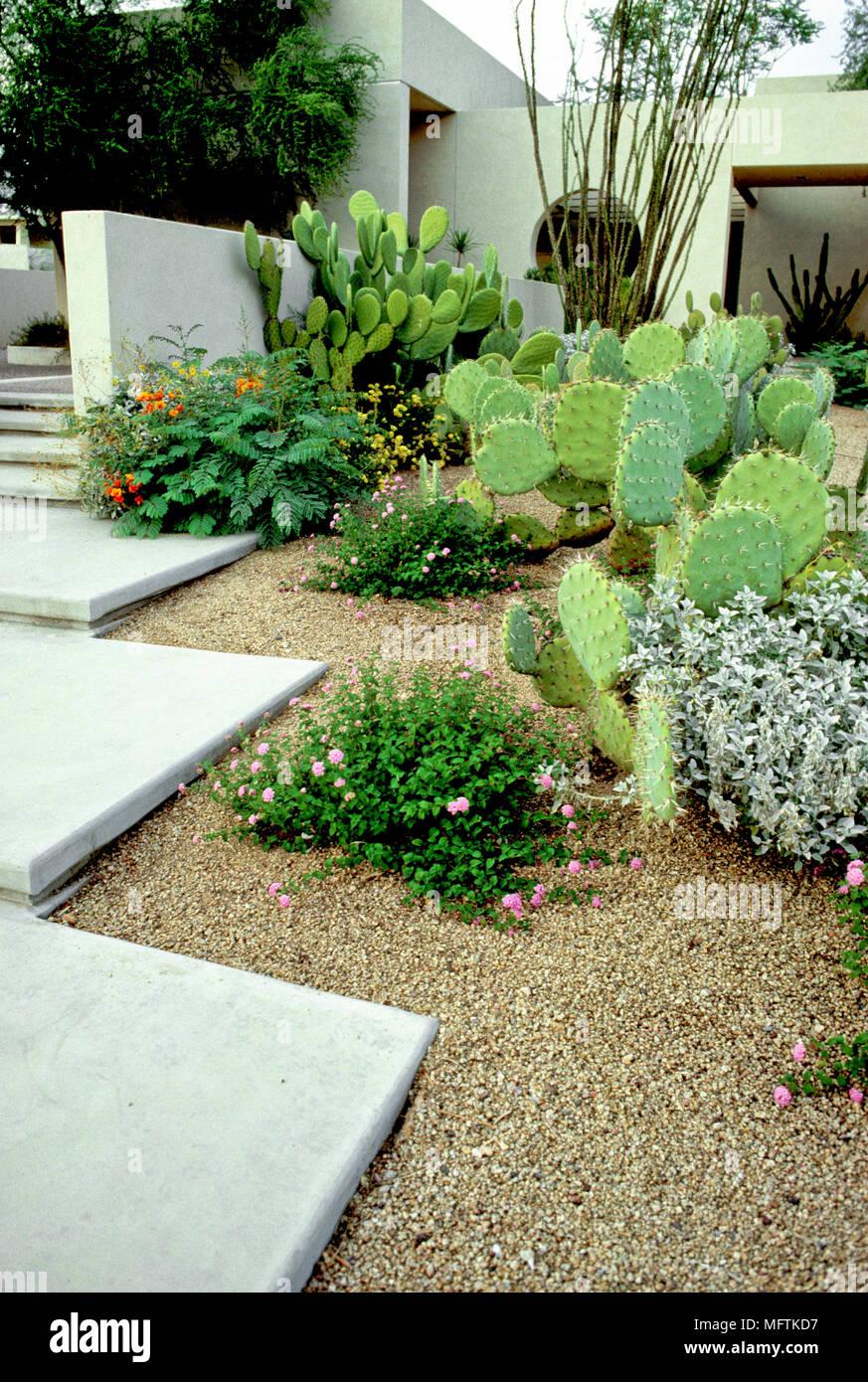 Jardin contemporain avec une plantation d\'Opuntia, Verbena ...
