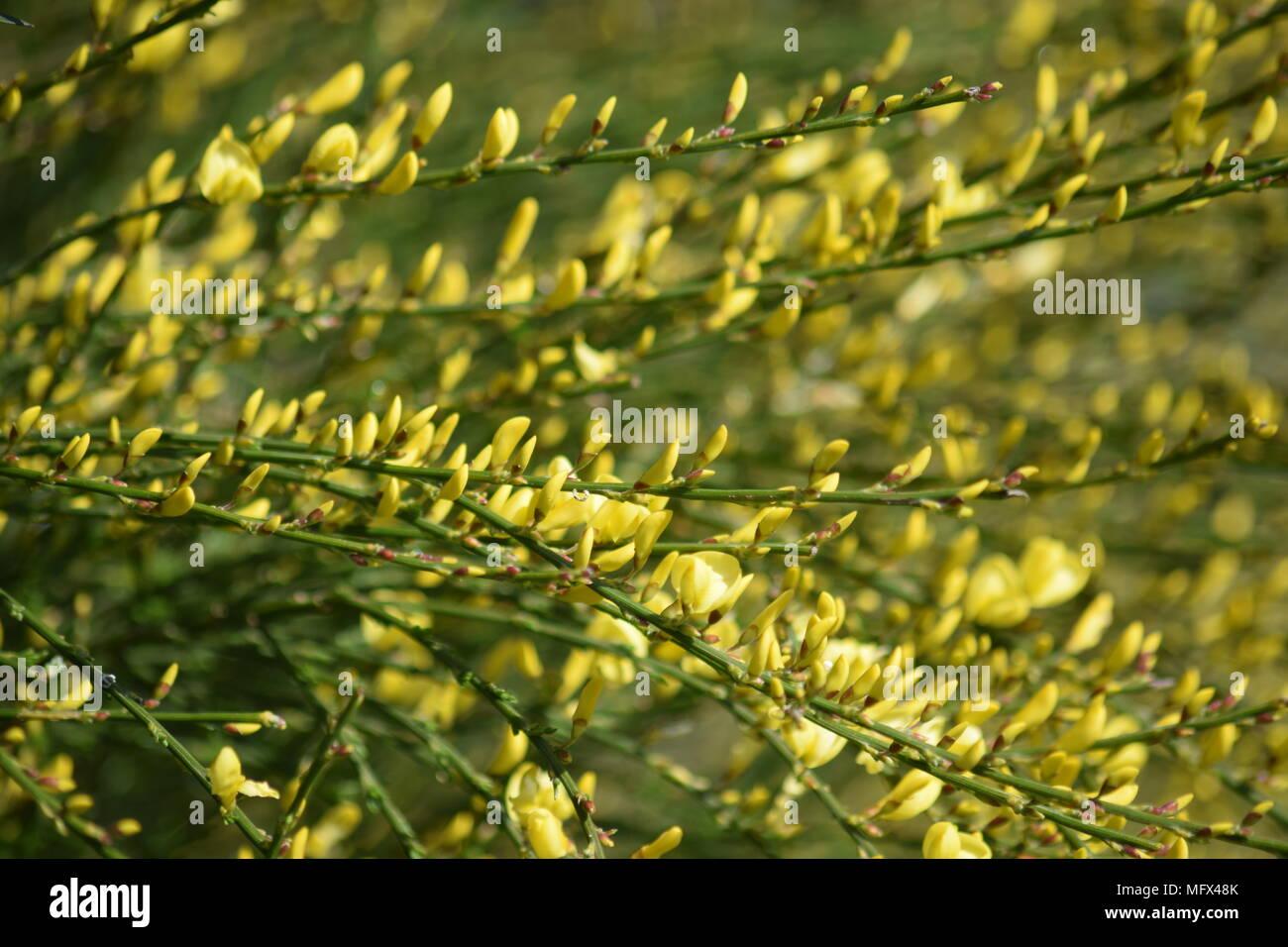Jardin De Printemps L Arbuste Fleur Jaune D Un Balai En Avril