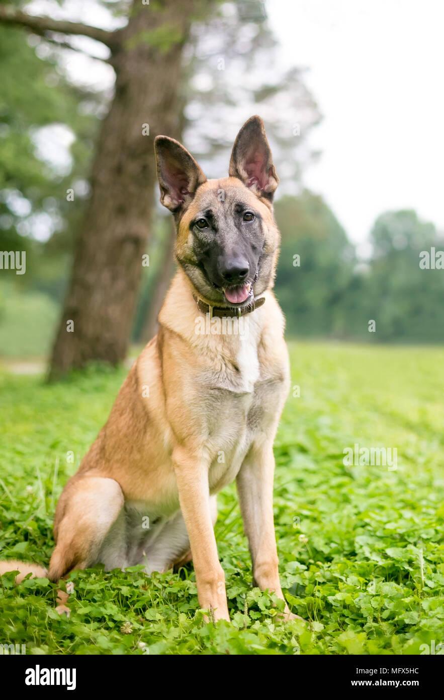 un belge de race malinois chien assis l 39 ext rieur banque d 39 images photo stock 181898680 alamy. Black Bedroom Furniture Sets. Home Design Ideas