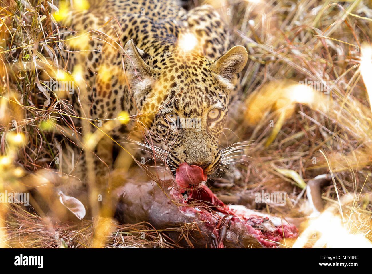 Photographié en safari dans une réserve de chasse de l'Afrique du Sud. Il était occupé à manger un nouveau kill au moment de photographier Banque D'Images