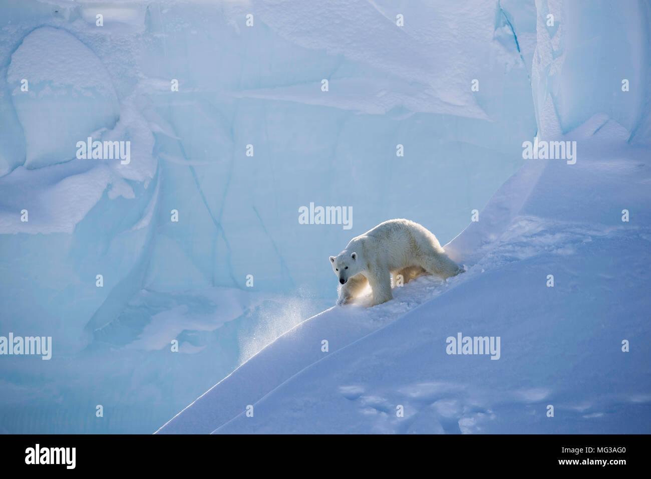 L'ours polaire femelle glisse dans la neige et la glace d'un iceberg, sur l'île de Baffin, dans le Nord du Canada Photo Stock